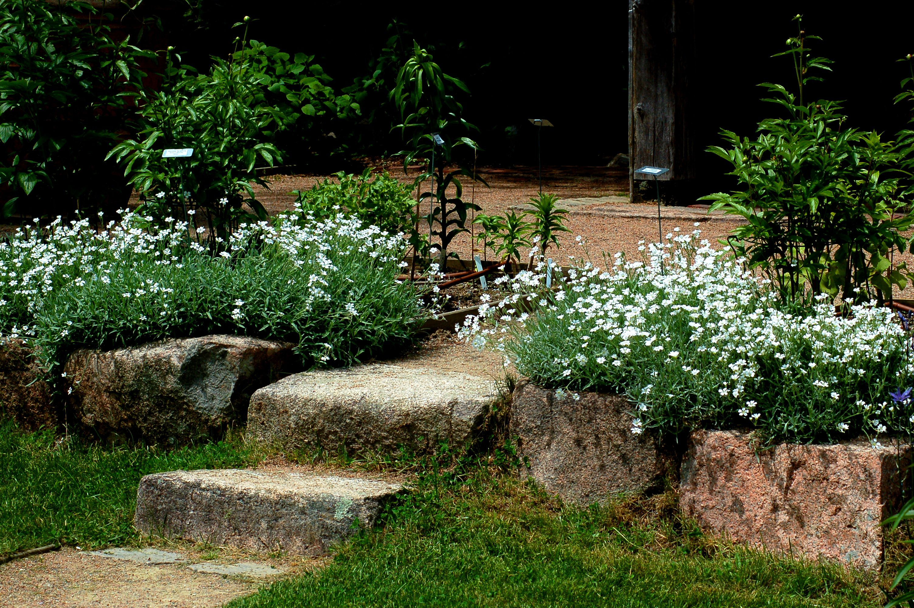 Snow-in-summer flowers spilling over stone wall.