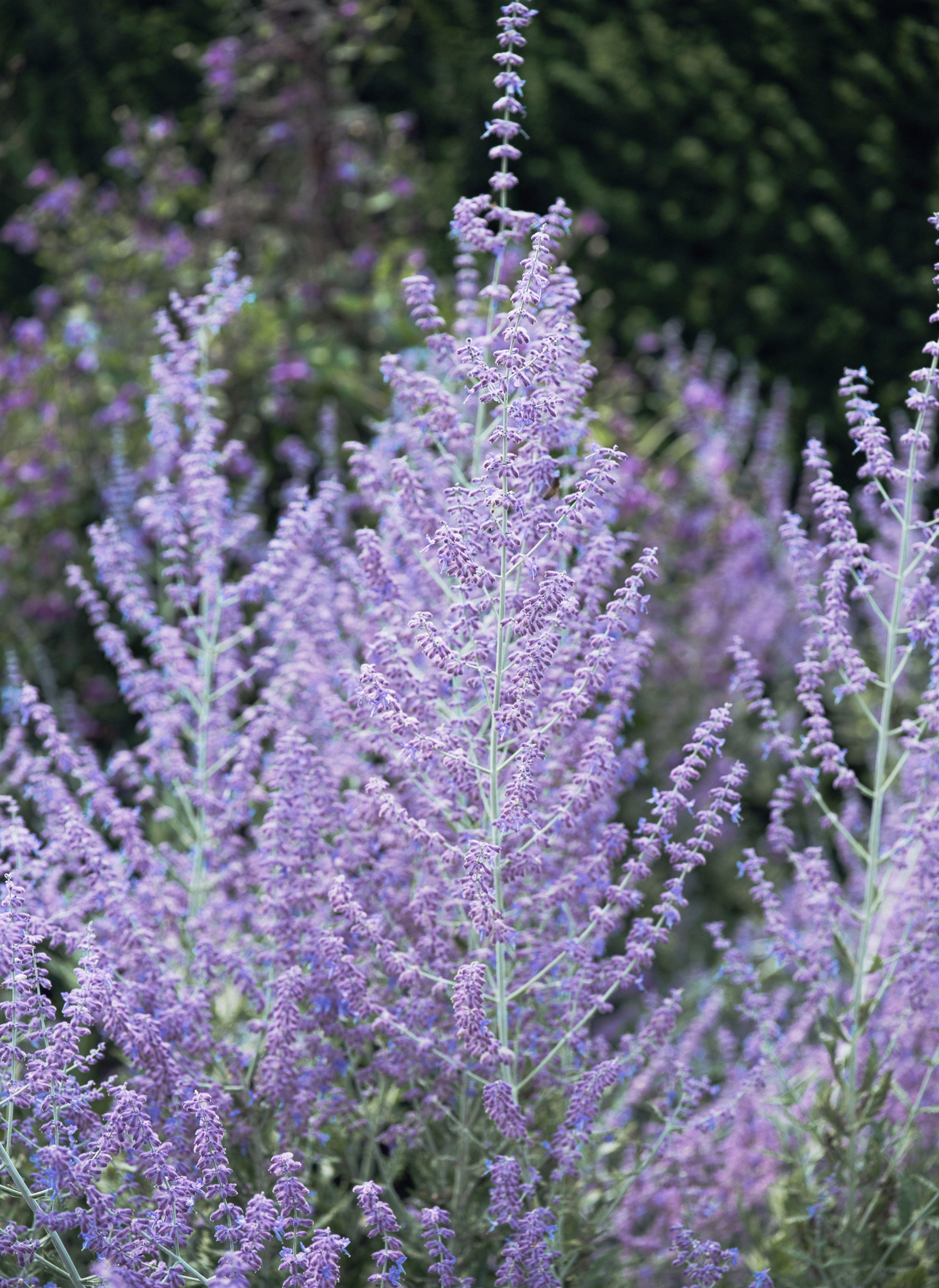 Perennial flowers that bloom all summer mightylinksfo