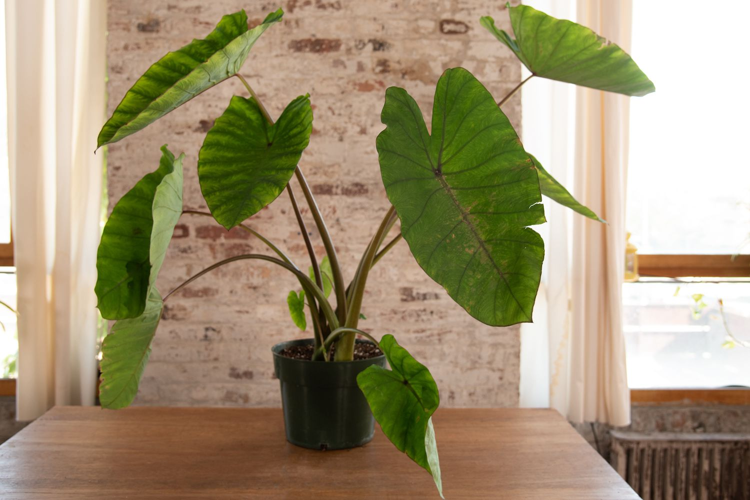 How To Grow And Care For Elephant Ear