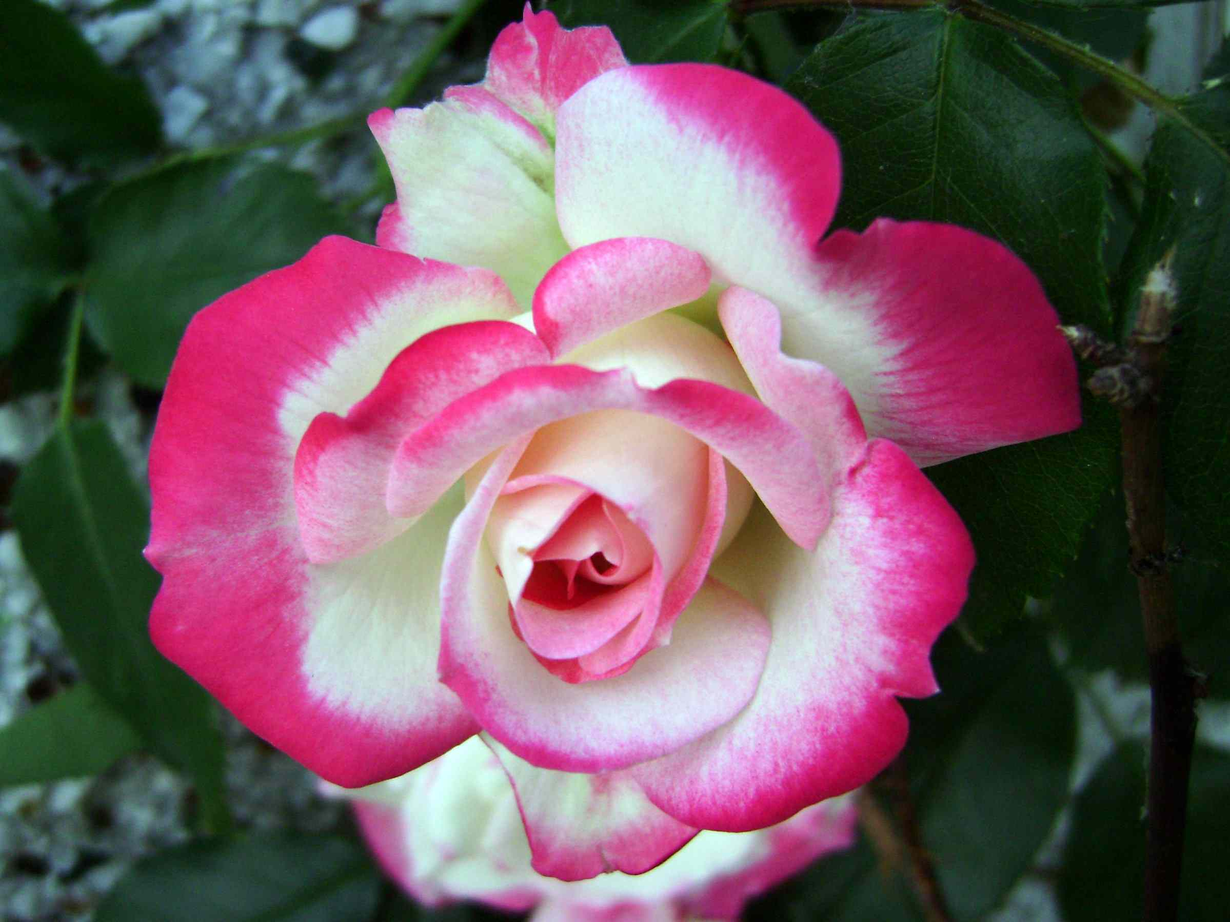 Rosa parfait de cereza