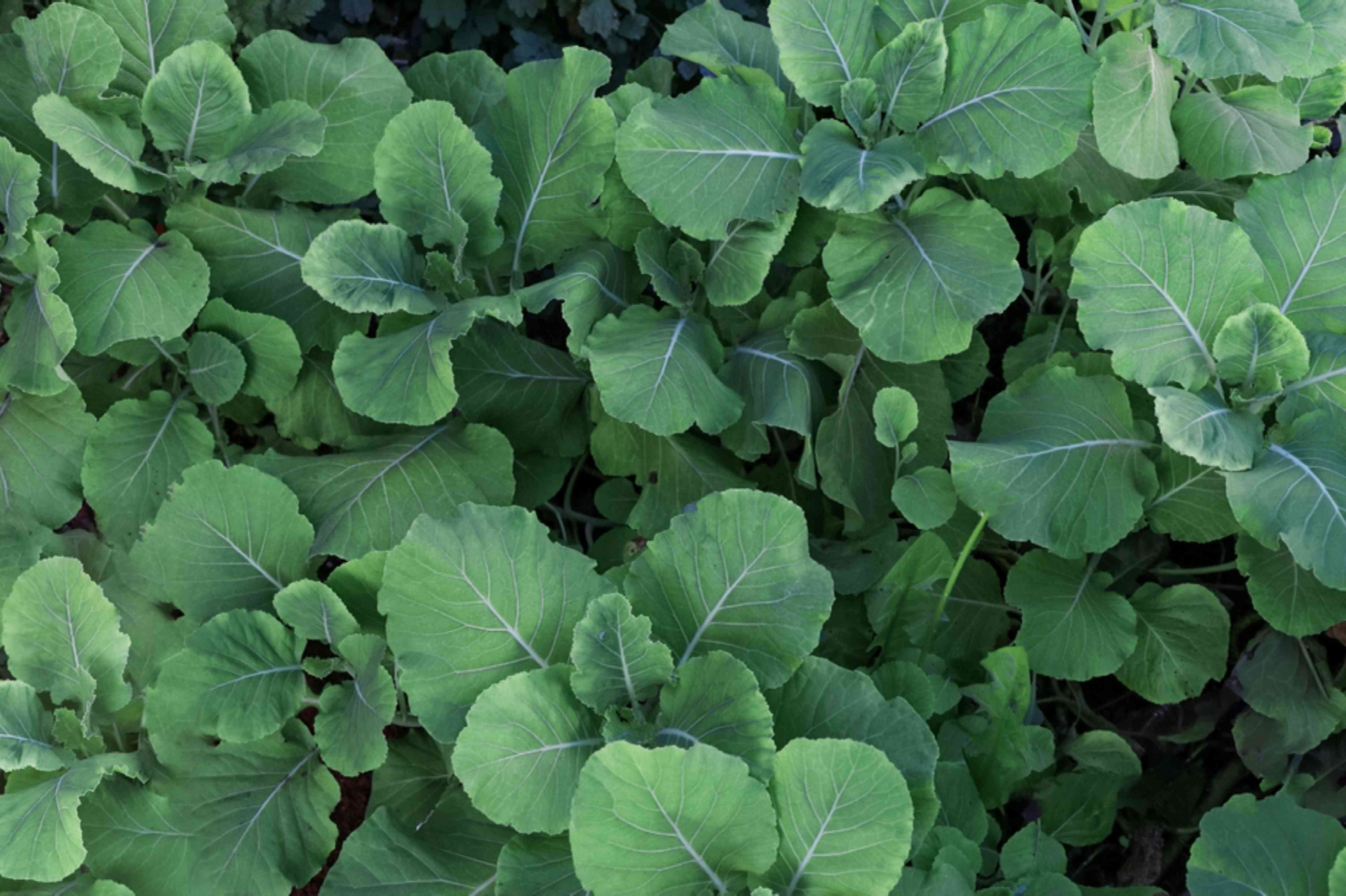 Organic kale plants with large leaves clustered together