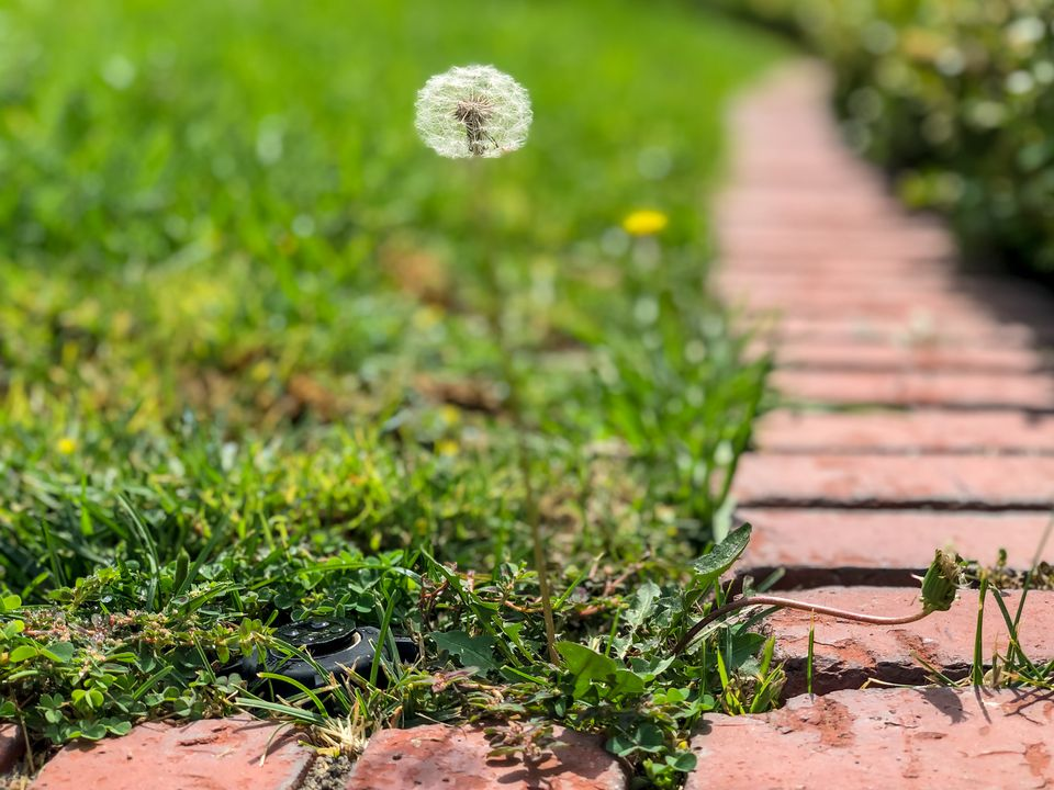 Dandelion on thin stem with orb of seed heads next to bricks lined in garden