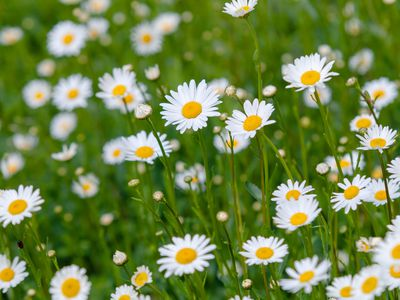 Oxeye daisy flowers with white radiating petals around yellow center