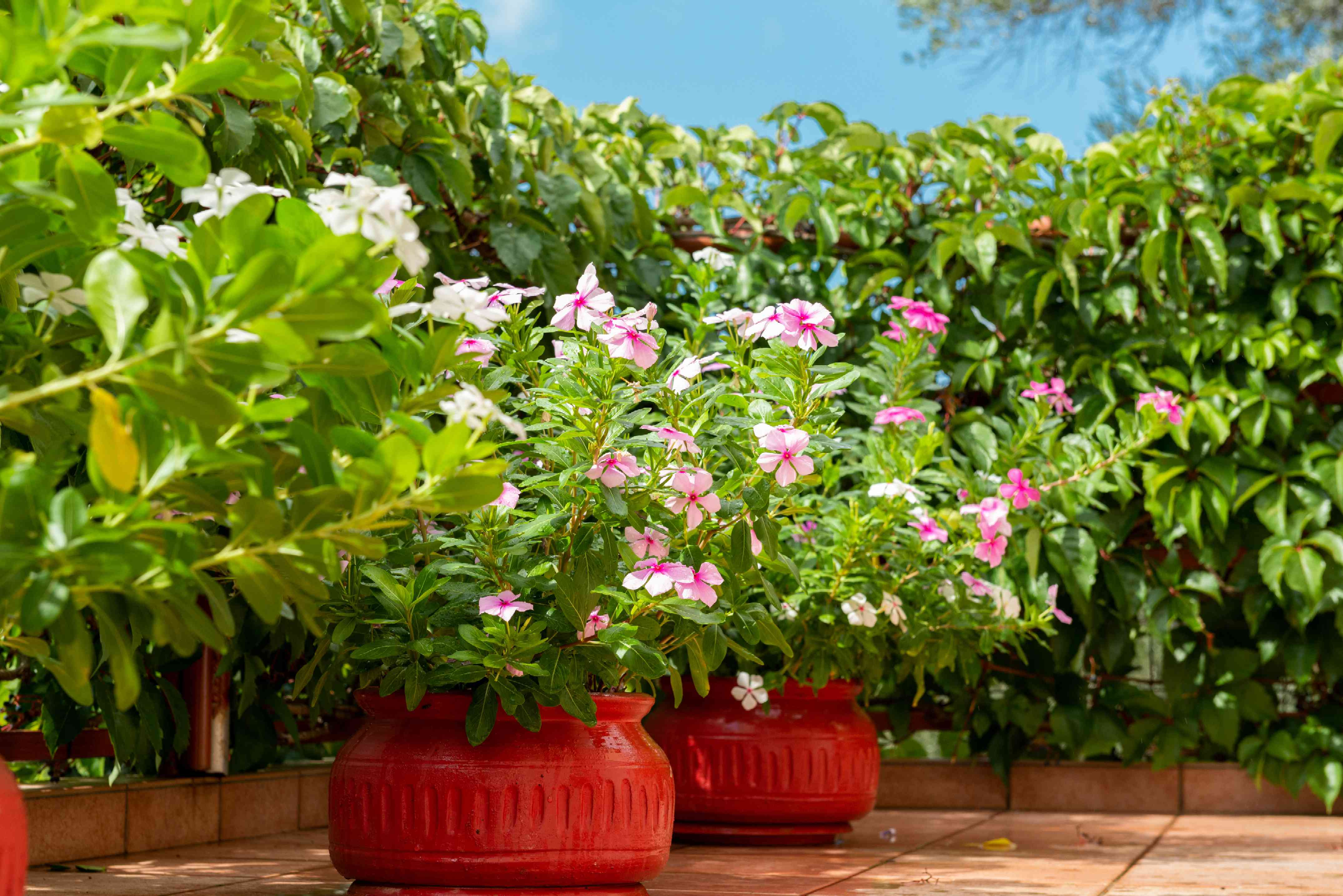 Garden balcony with orange pots with pink flowers surrounded by bushes