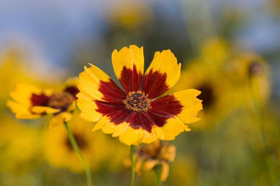 Calliopsis flower up close
