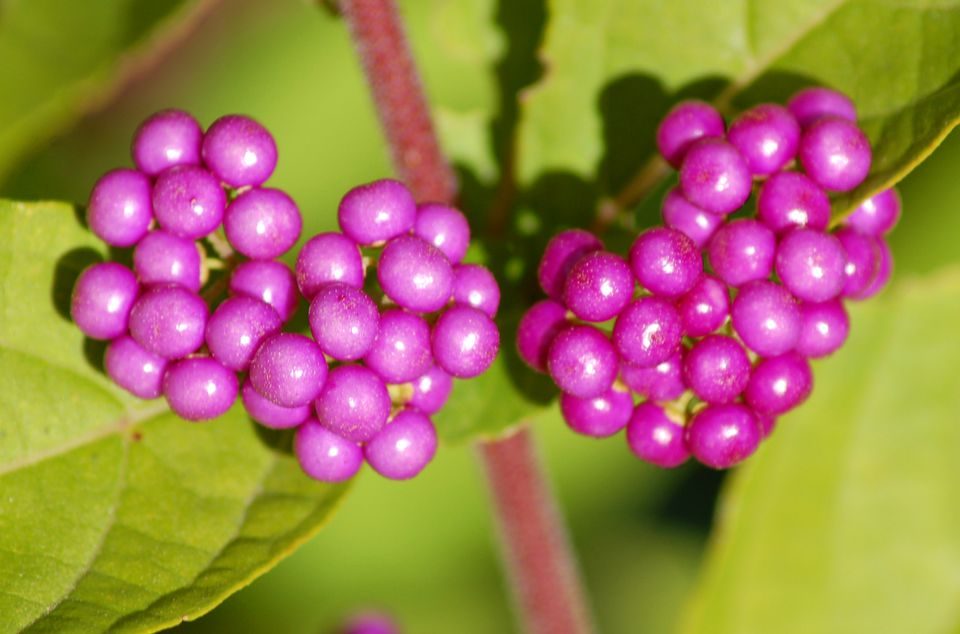 Berries on a beautyberry bush