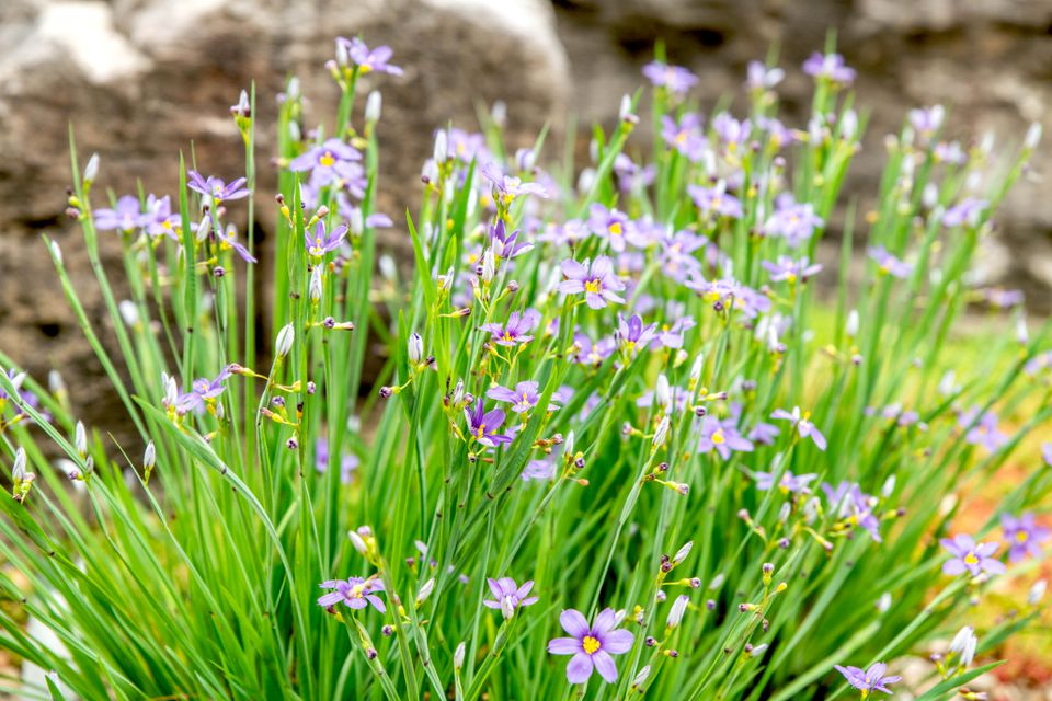Blue eyed grass plant with small purple flowers on end of stems