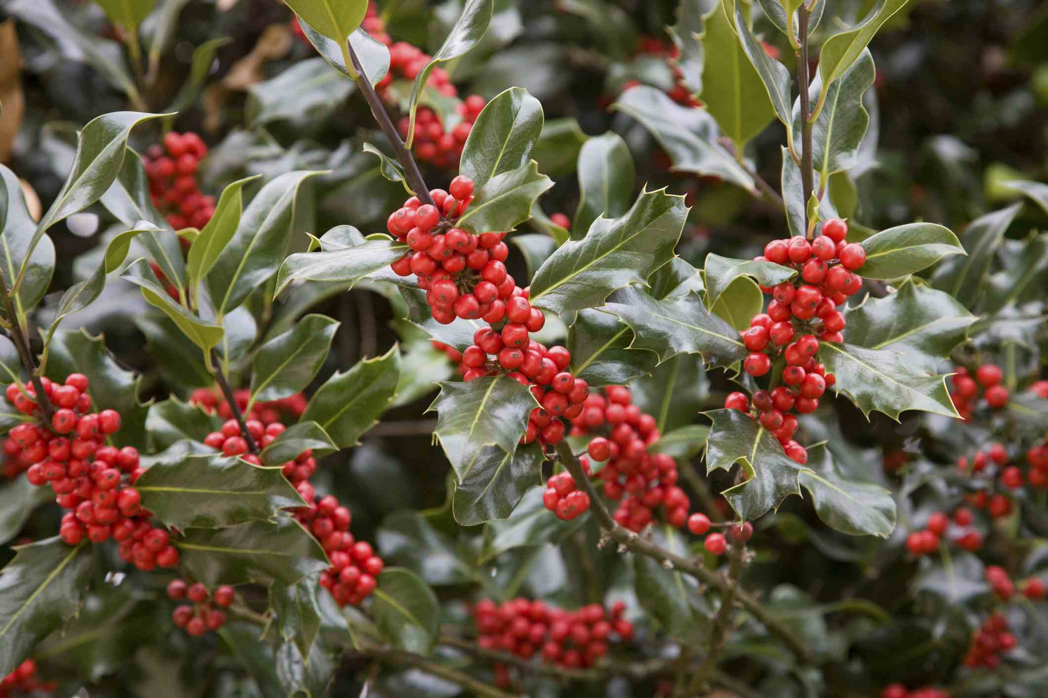 7 Plants In Christmas Traditions: Learn The Lore