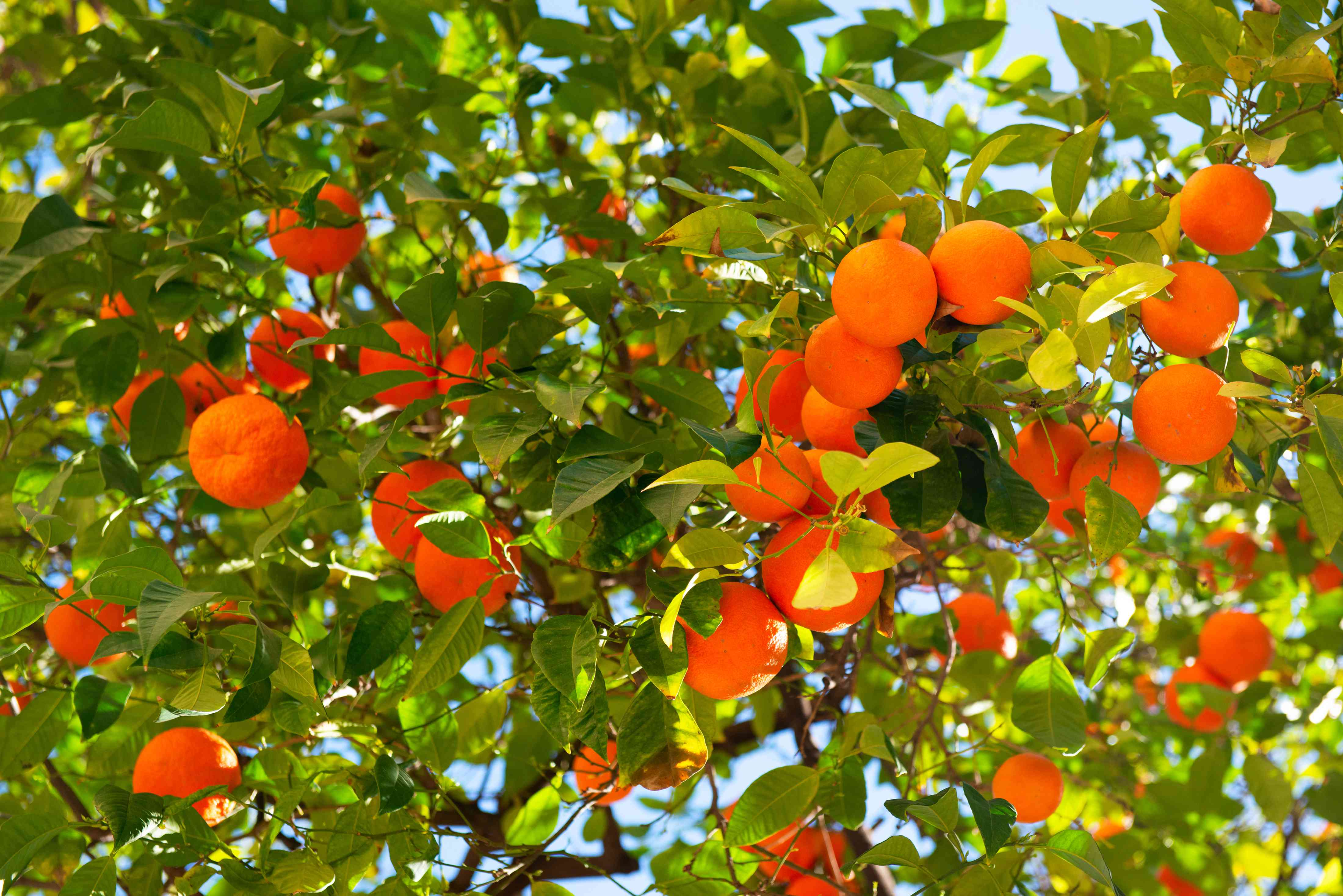 Satsuma tree branches with round orange fruit hanging beneath branches