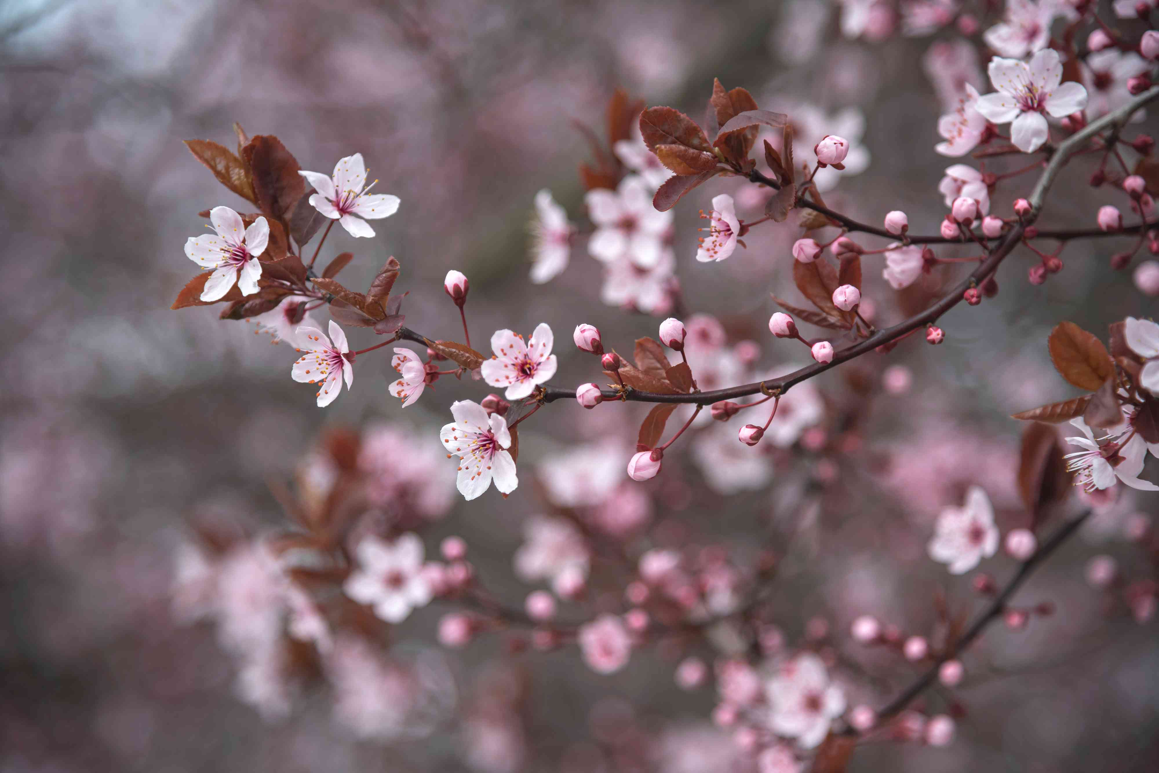 Purple leaf plum tree branches with small white and pink flowers with buds and brown leaves closeup