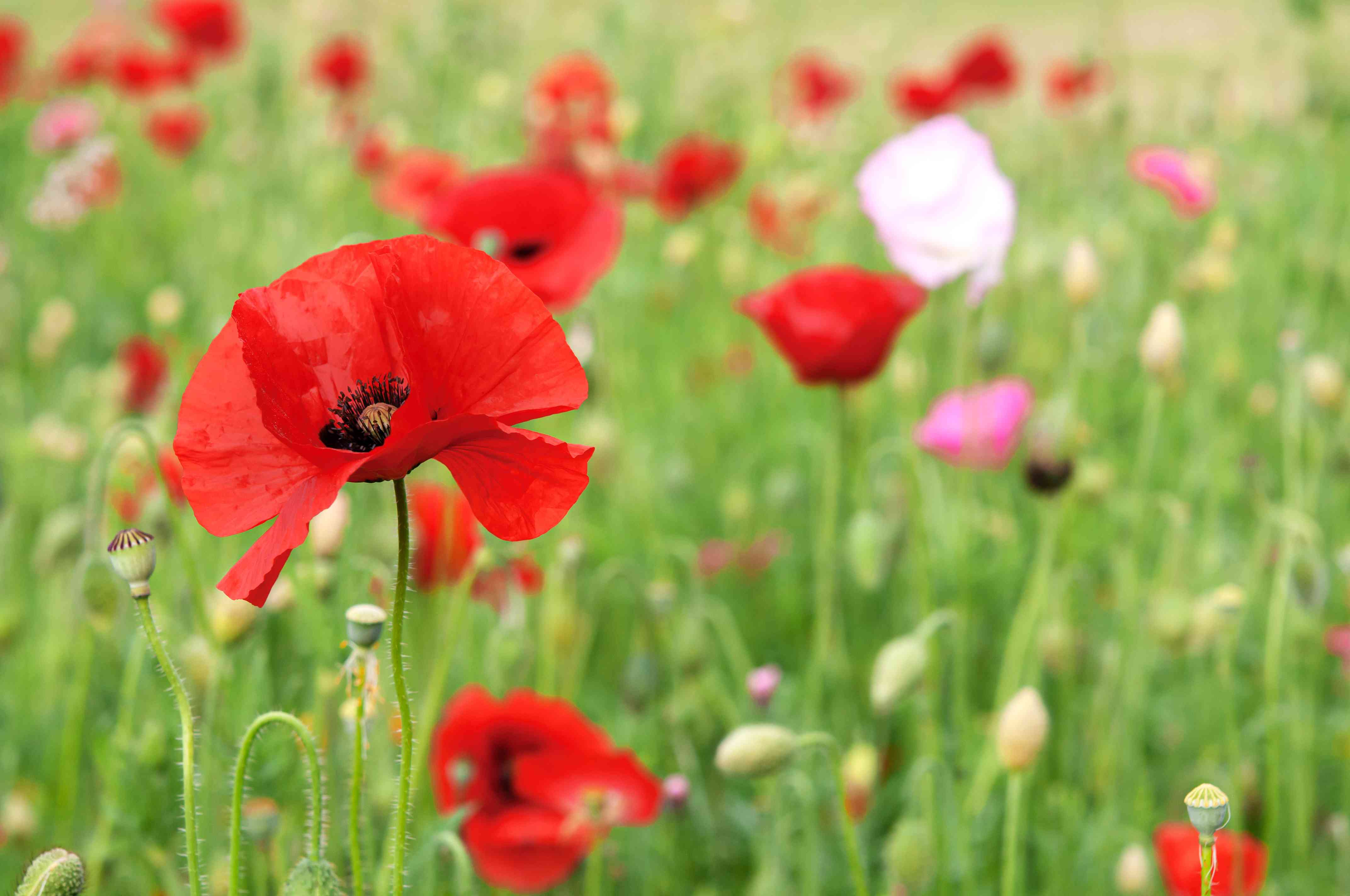 Red poppy on thin stem in front of field with red poppies and wildflowers
