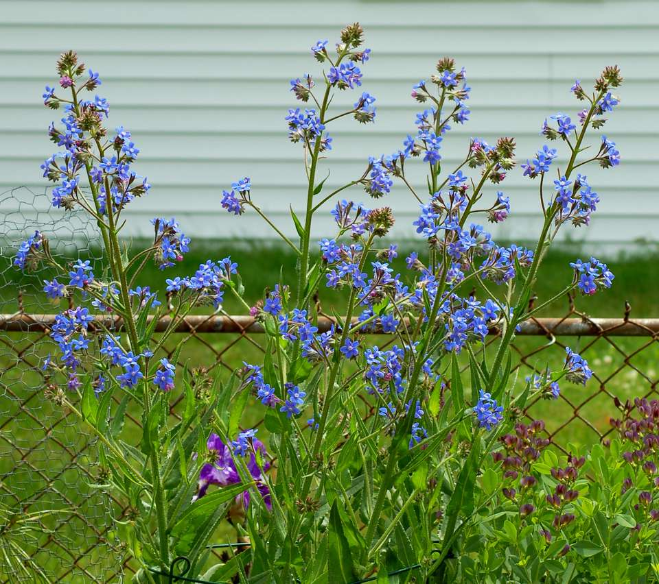 Italian bugloss is striking, being tall. Here it is in bloom.