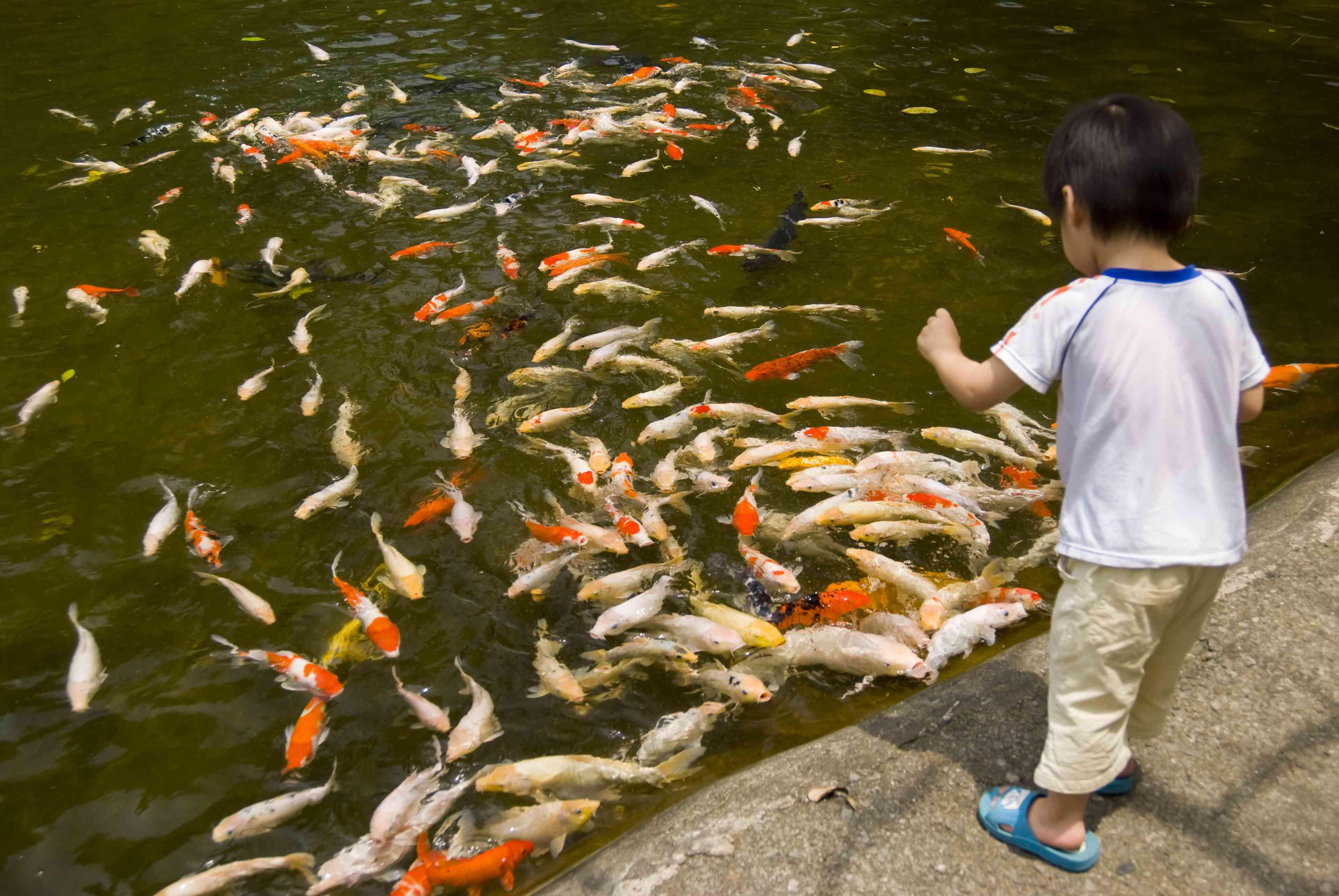 A child feeding koi fish.