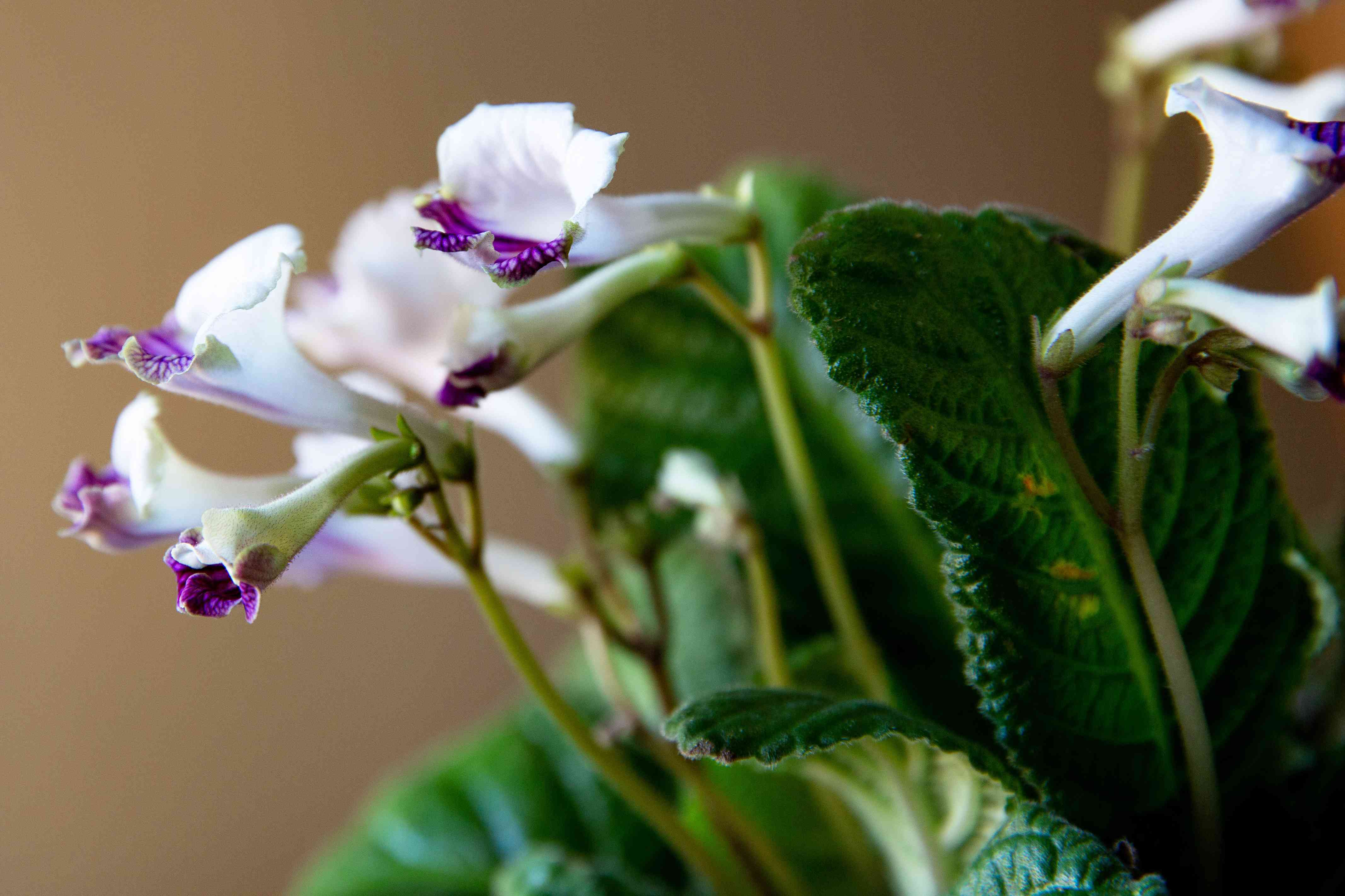 Streptocarpus plant with white and purple flowers and buds with leaves closeup