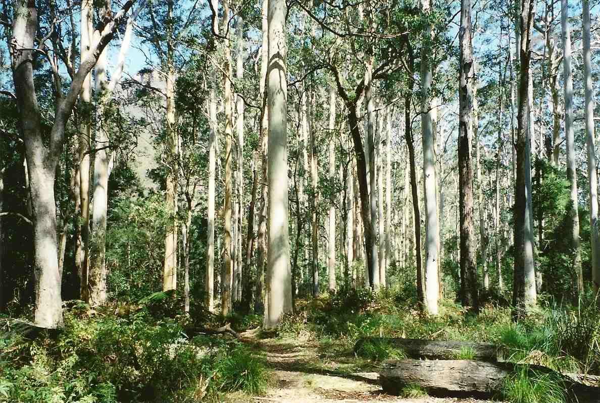 Bosque de goma azul