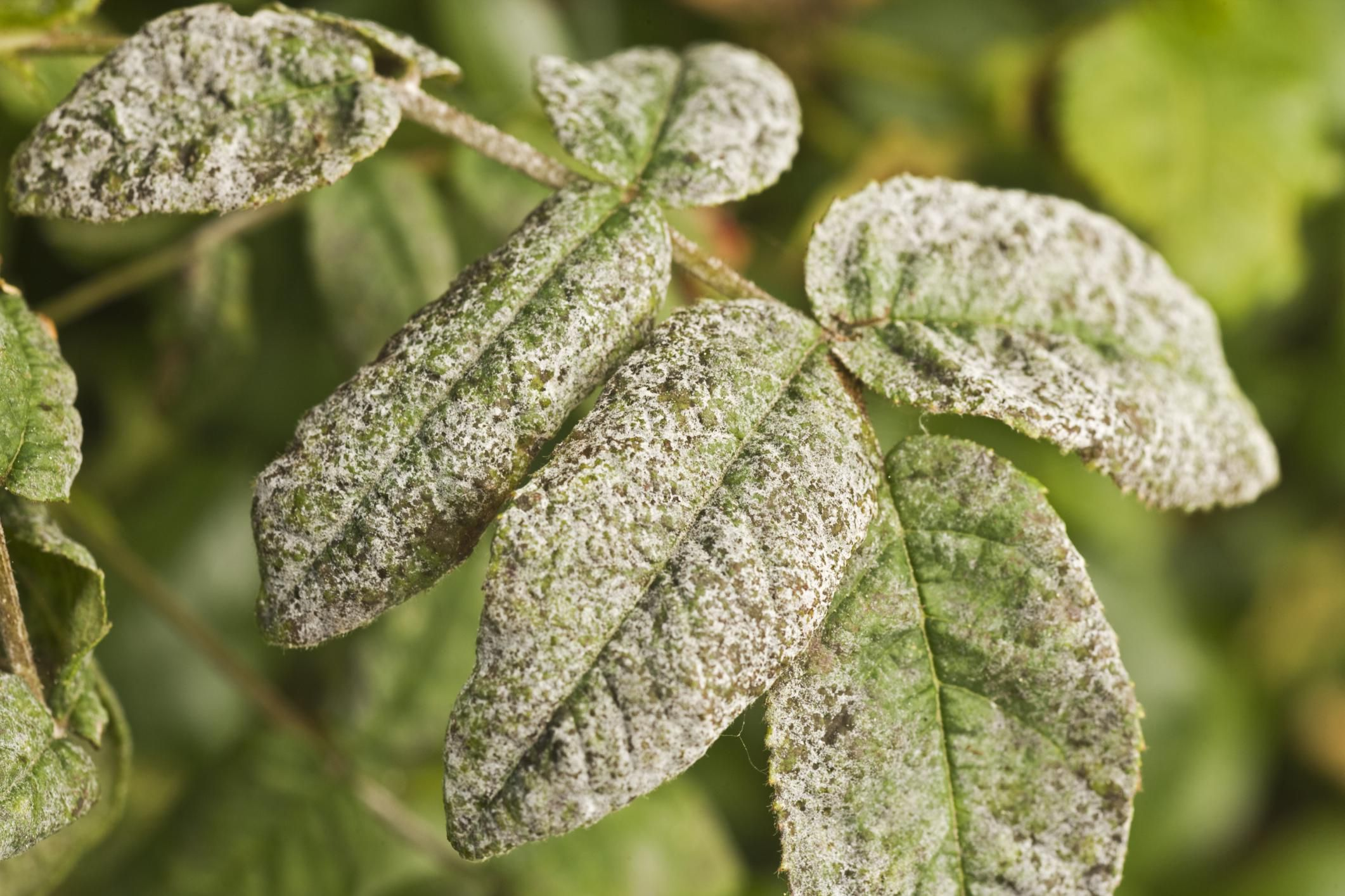 How To Use Milk Spray To Control Powdery Mildew