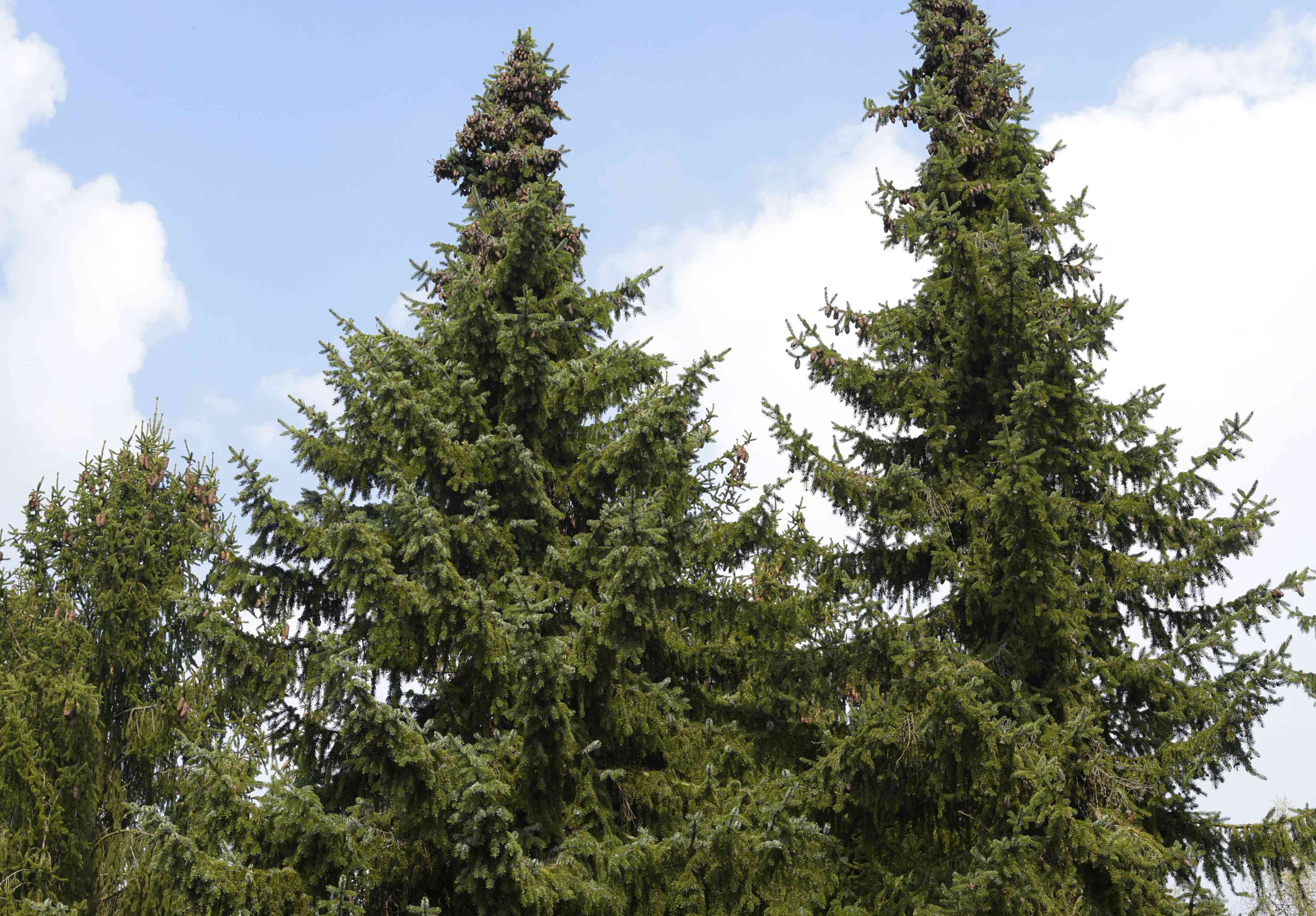 Serbian spruce tree tops against blue and cloudy sky
