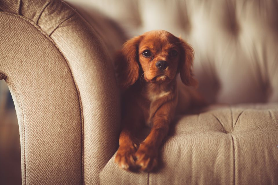 Close-Up Portrait Of Dog On Sofa At Home