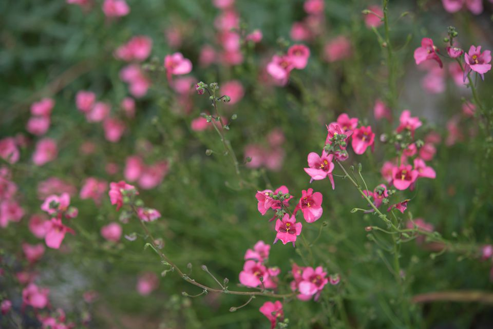 Mask flower plant with pink flowers in garden