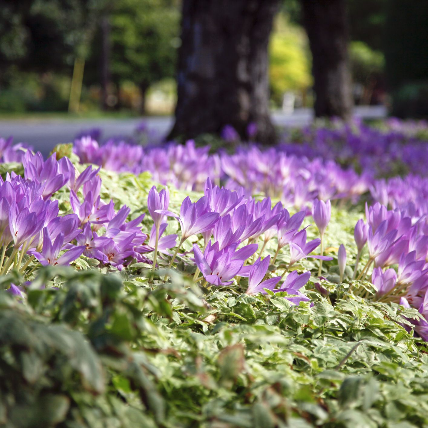 Give the Fall Garden a Reboot With Autumn Crocus