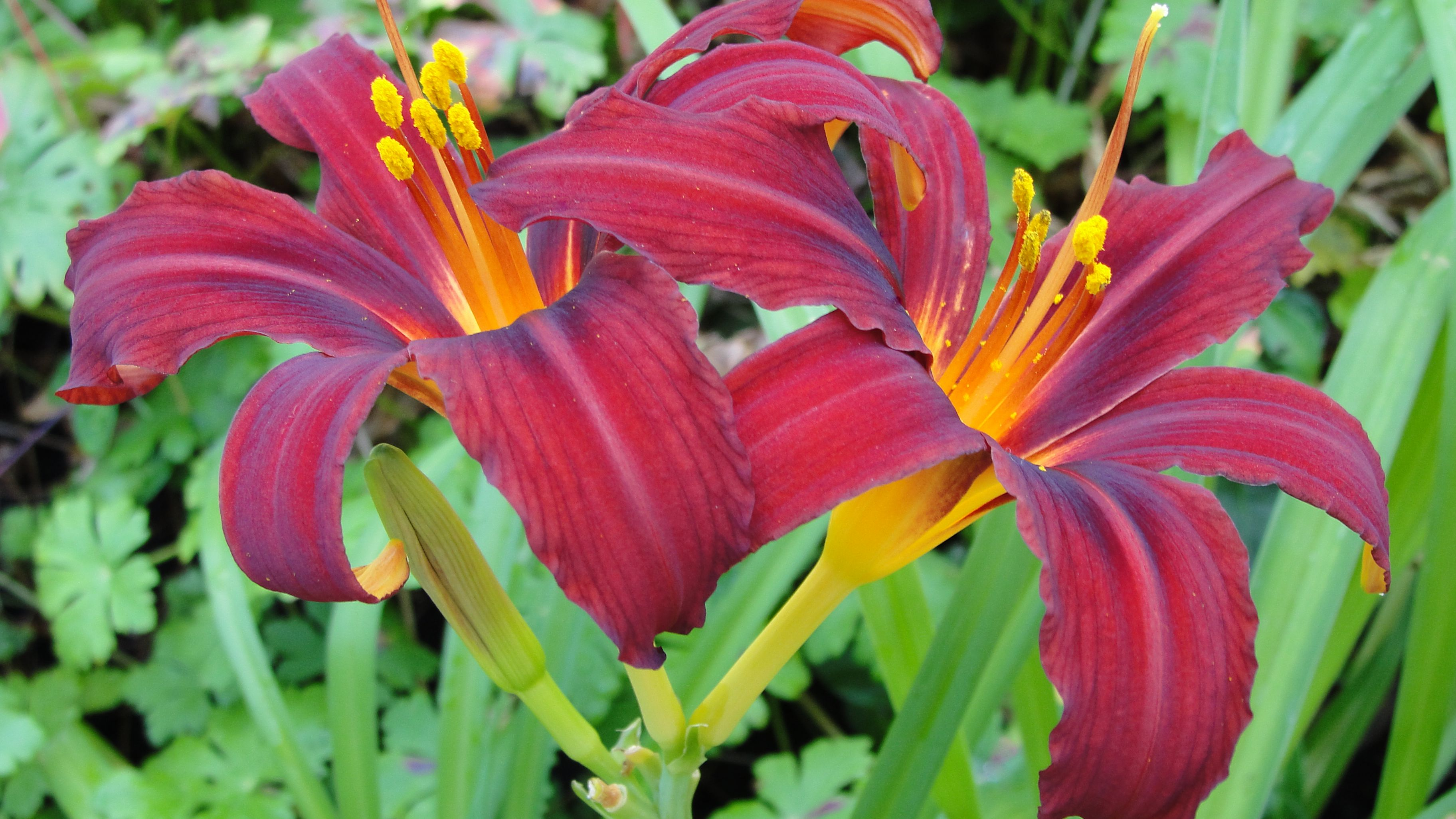 How To Tell The Difference Between Lilies And Daylilies