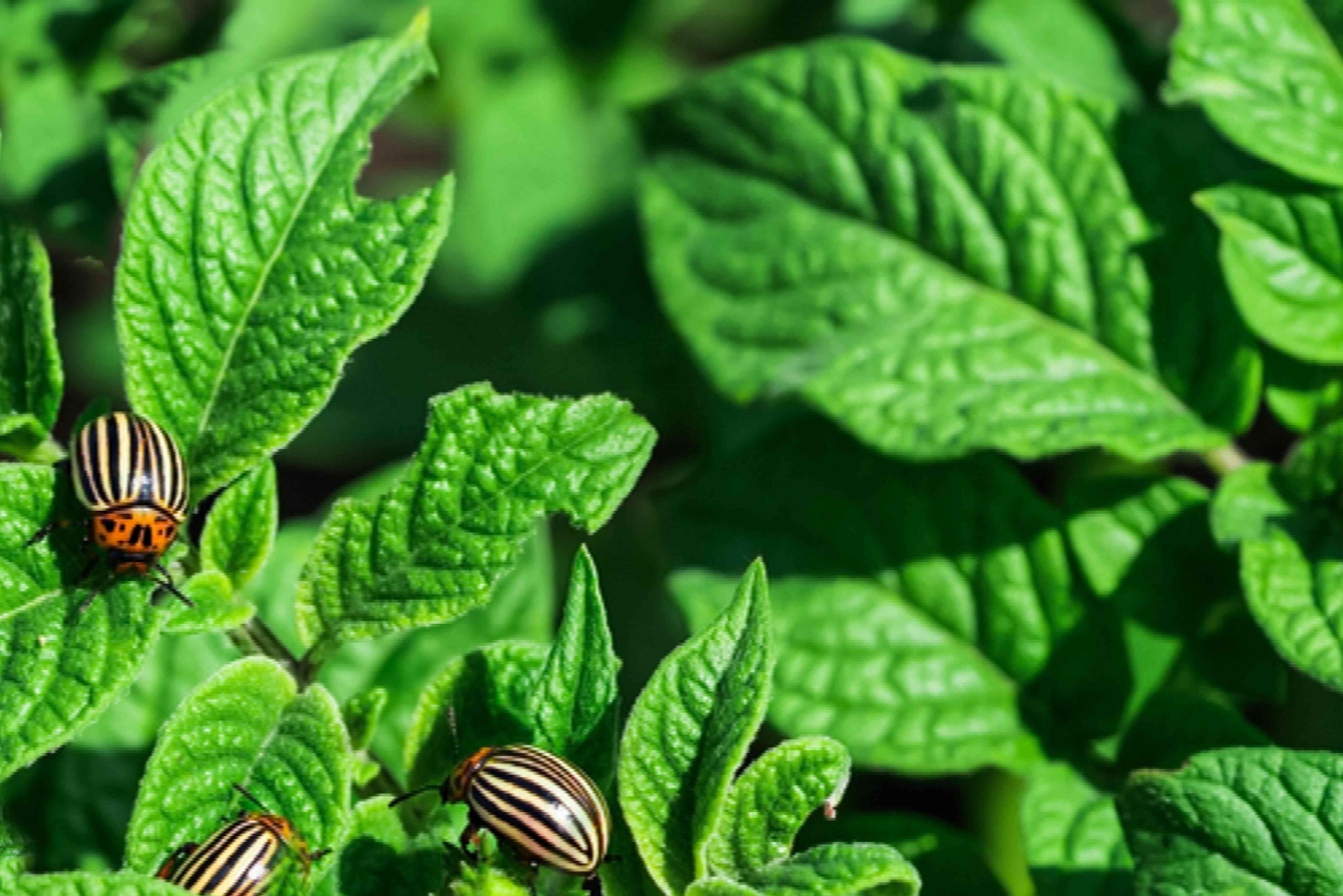 beetles on potato plants