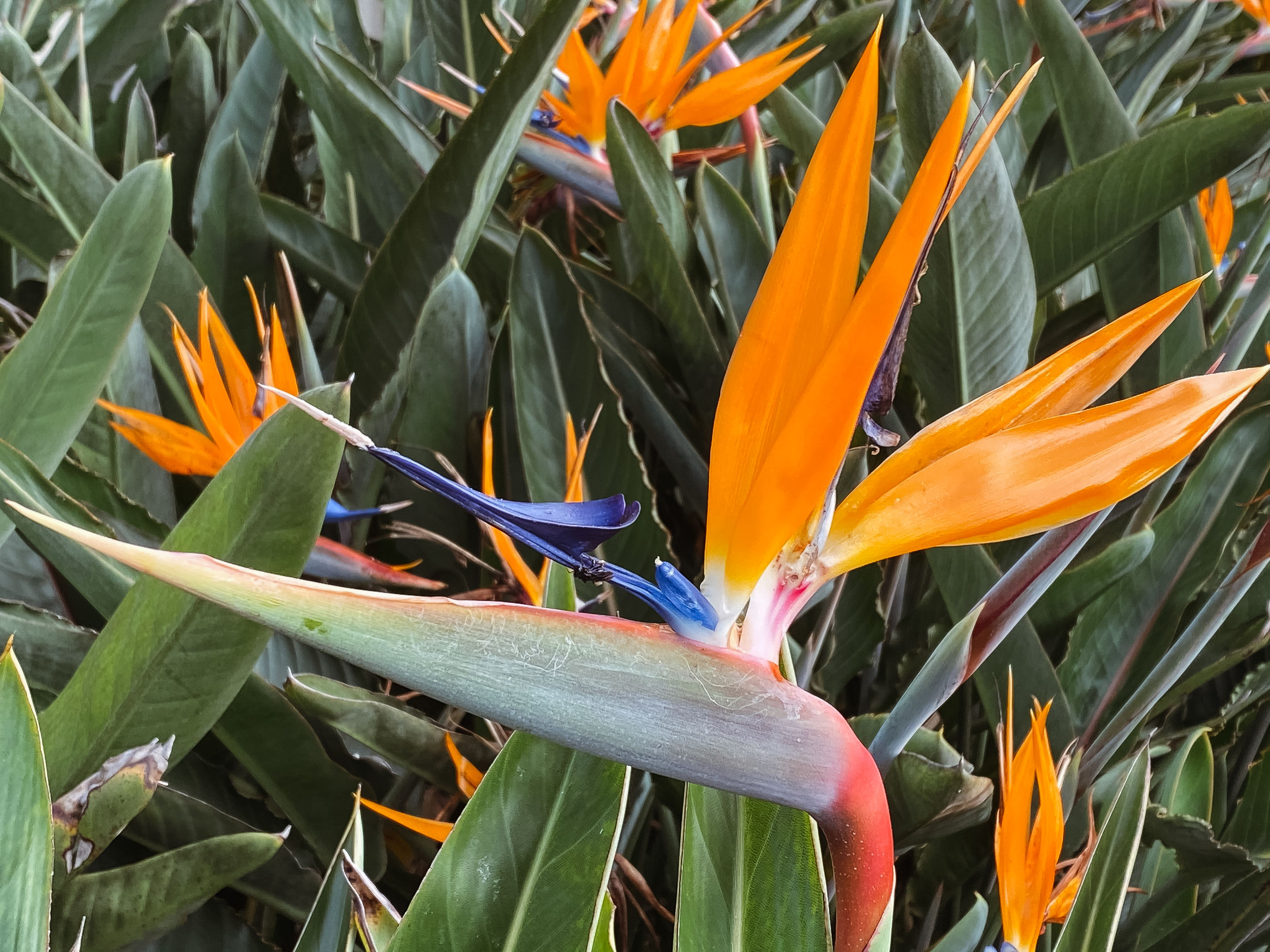 Strelitzia Bird Of Paradise Care And Growing Tips