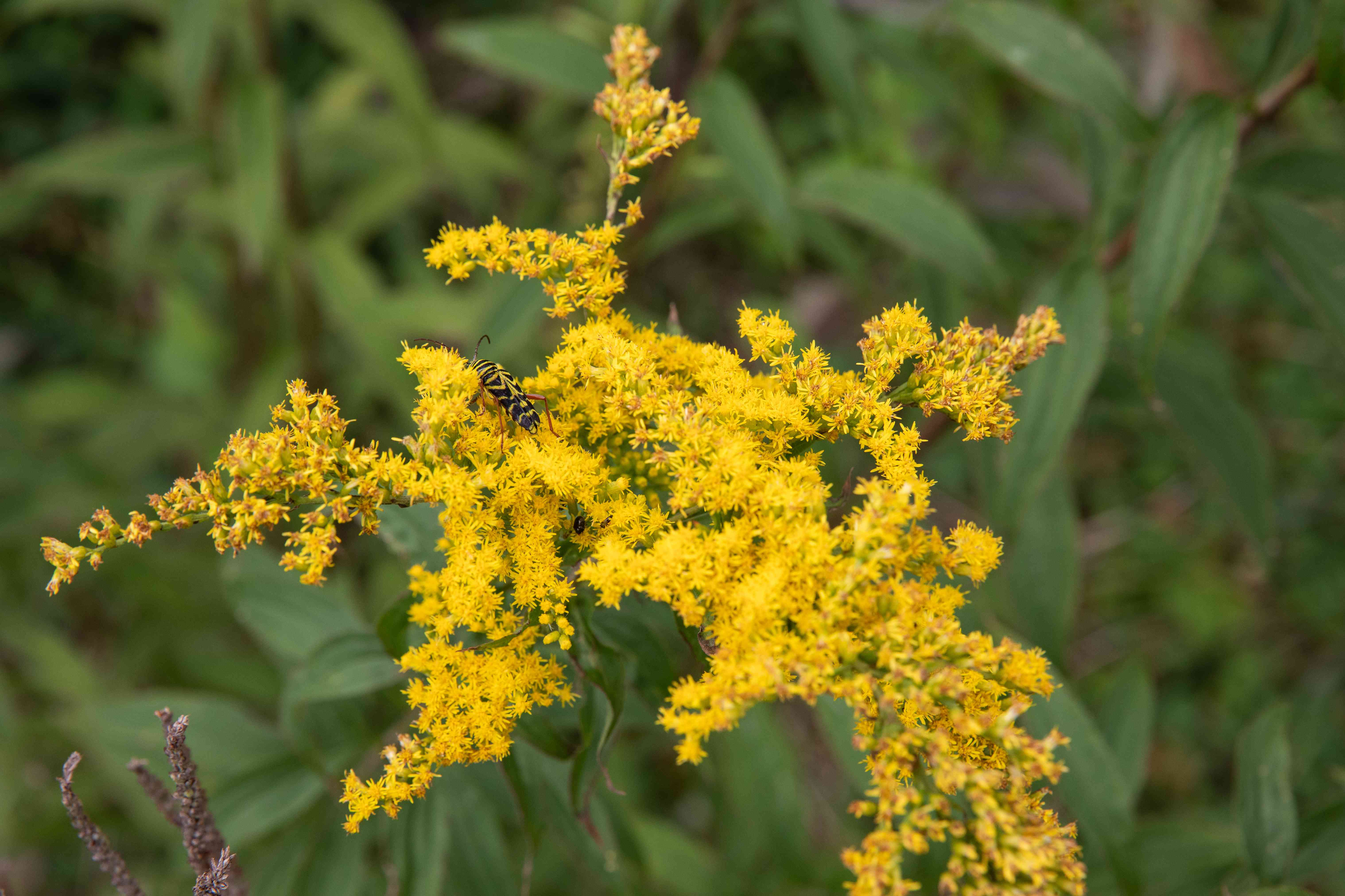 bee on a goldenrod flower