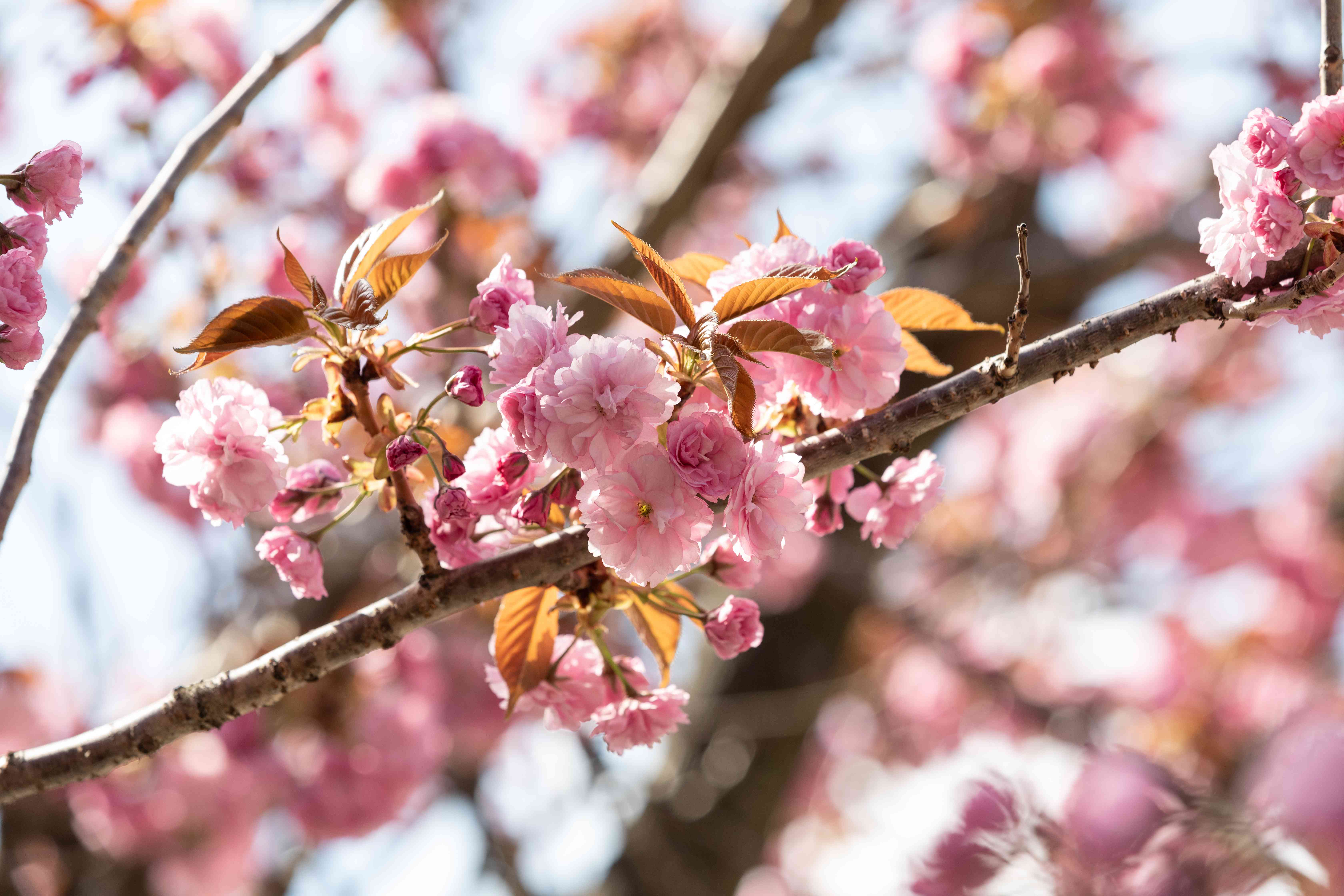 Kwanzan and yoshino cherry trees with small pink flowers and buds on branch