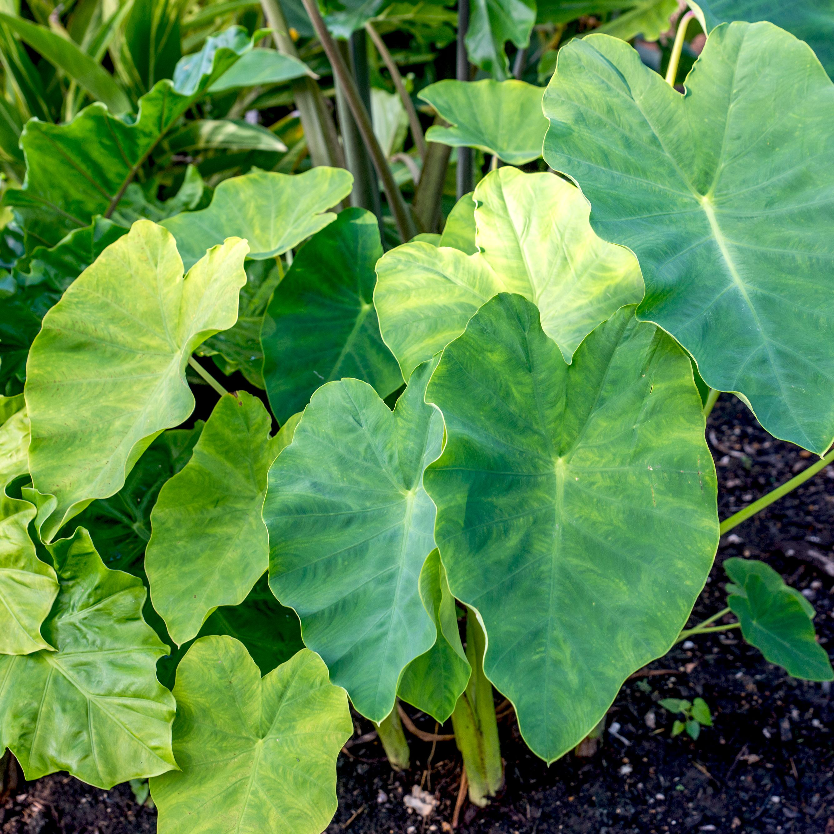 Elephant Ear Plant Care Growing Guide
