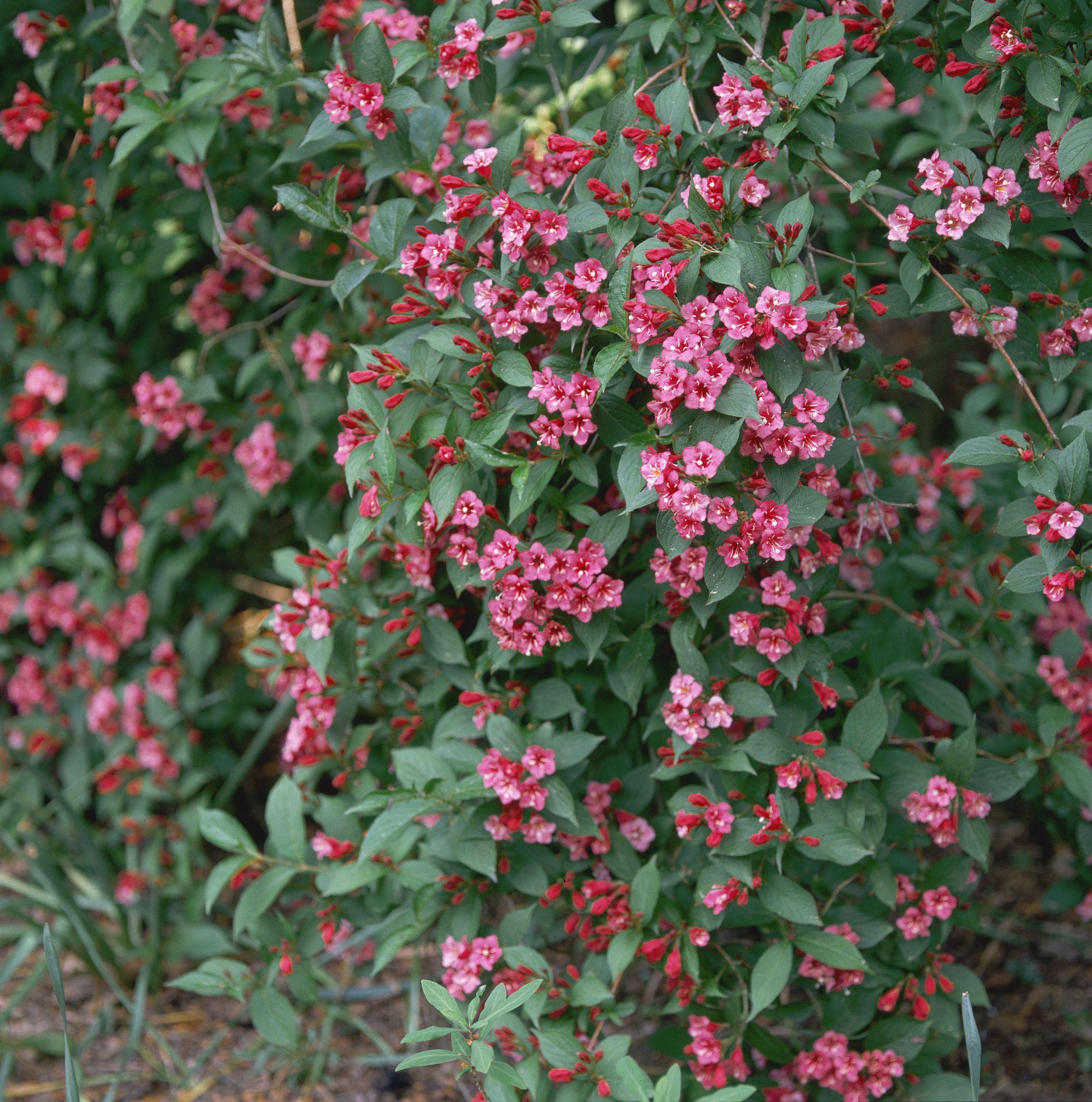 Foliage and Flowers of Weigela