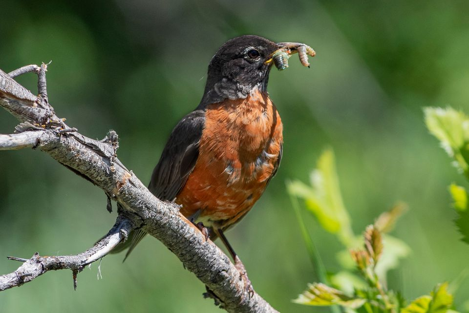 American robin eating worms