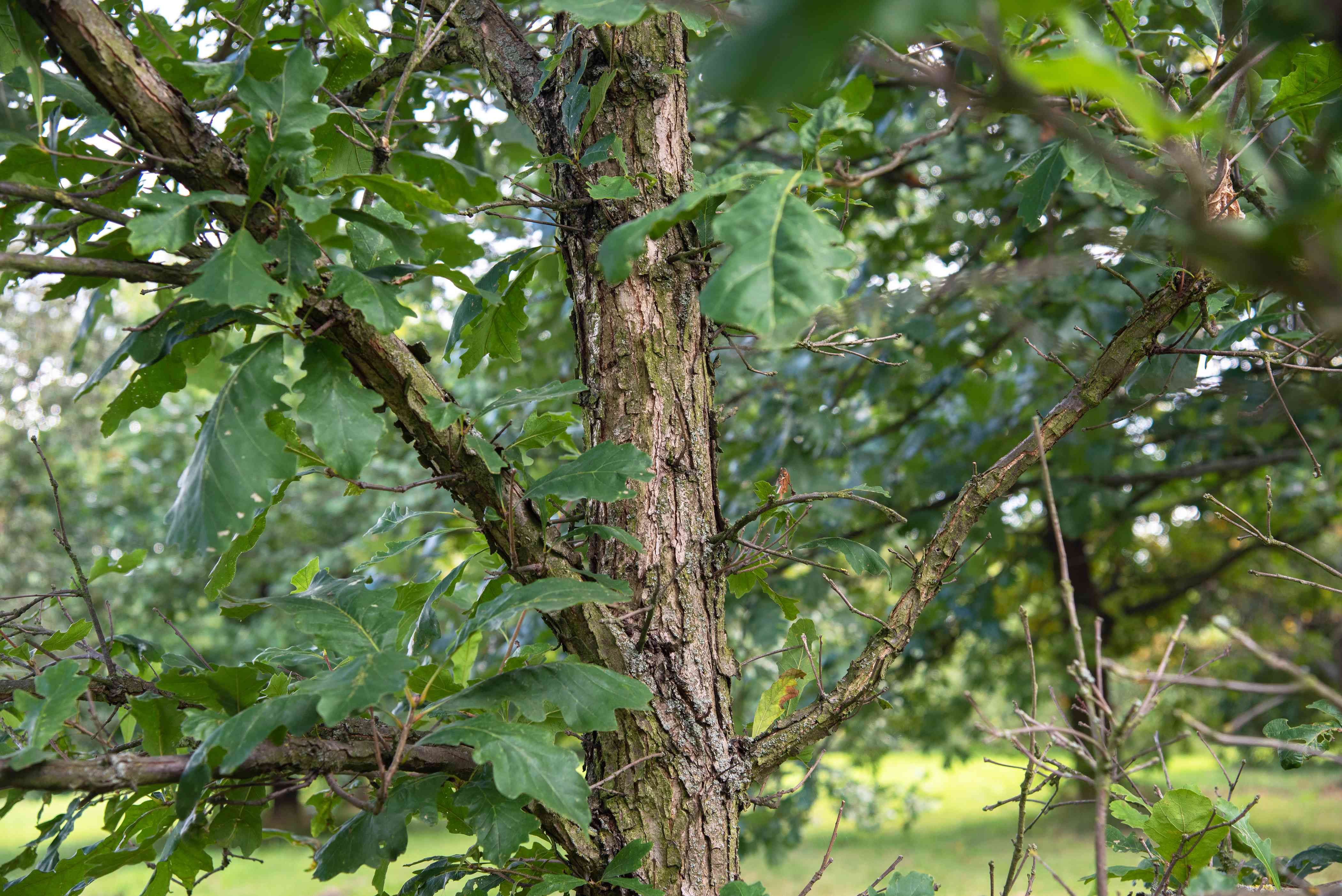 Swamp white oak tree trunk with peeling bark and branches covered with leaves