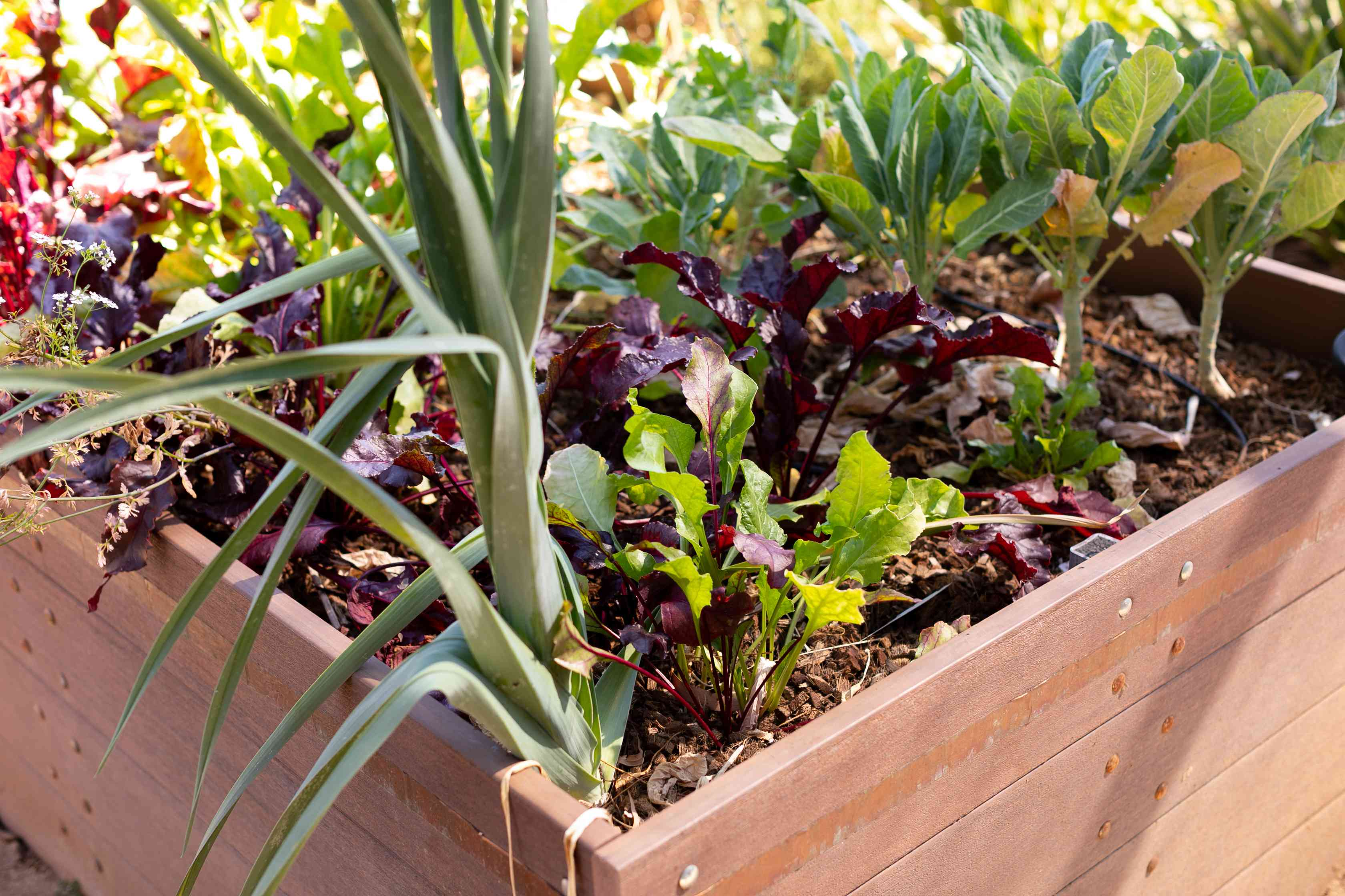 Vegetable garden in raised bed with multiple colored greens and vegetables planted for multiple people closeup