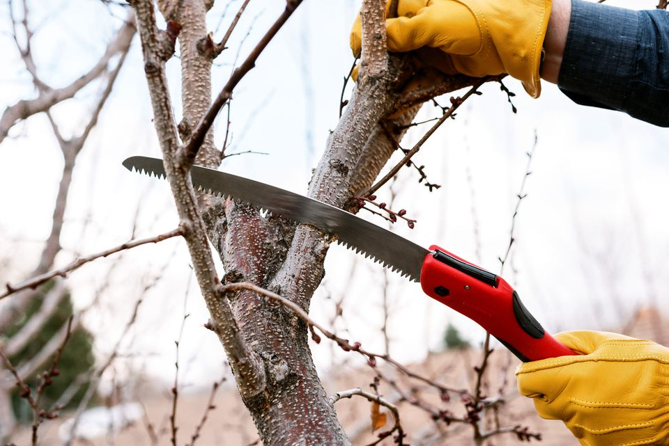 Shrub branch being cut by pruning saw with red handle