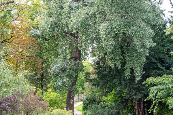 White poplar tree with tall trunk and drooping branches near pathway
