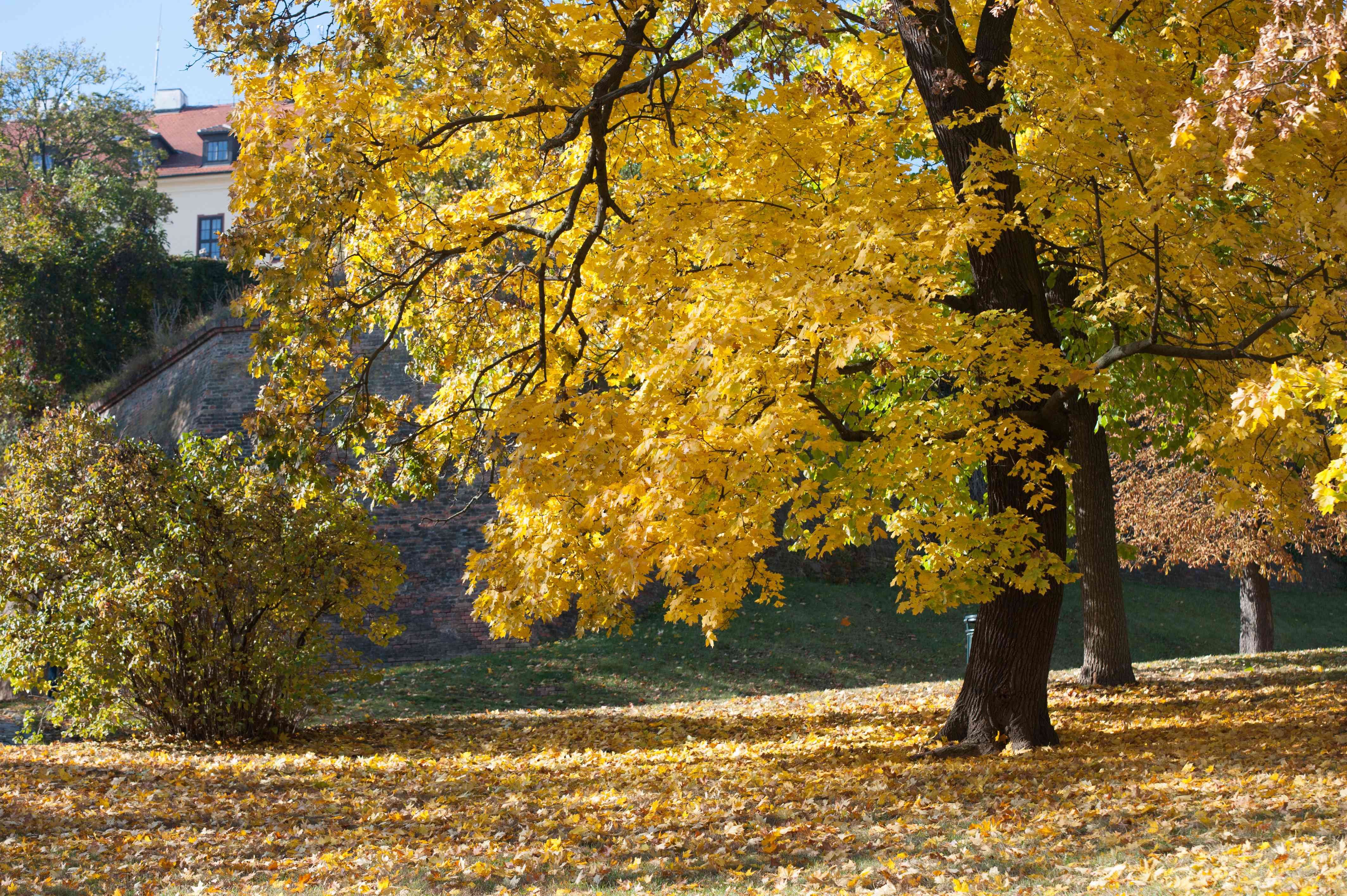 Norway maple tree with yellow leaves in middle of park with fallen leaves
