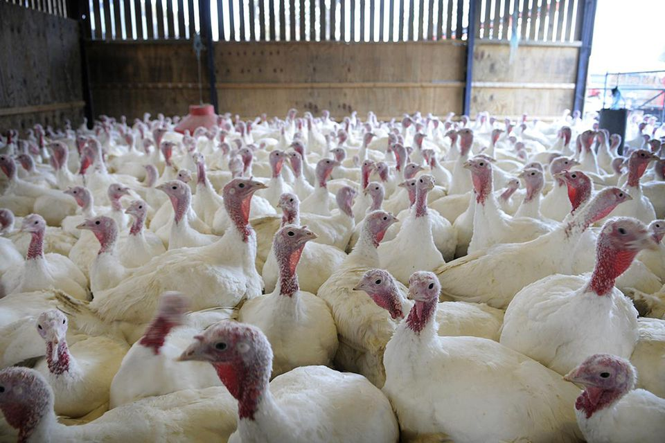 Free Range Turkeys in barn