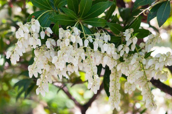 Japanese pieris toccata shrub with white flowers