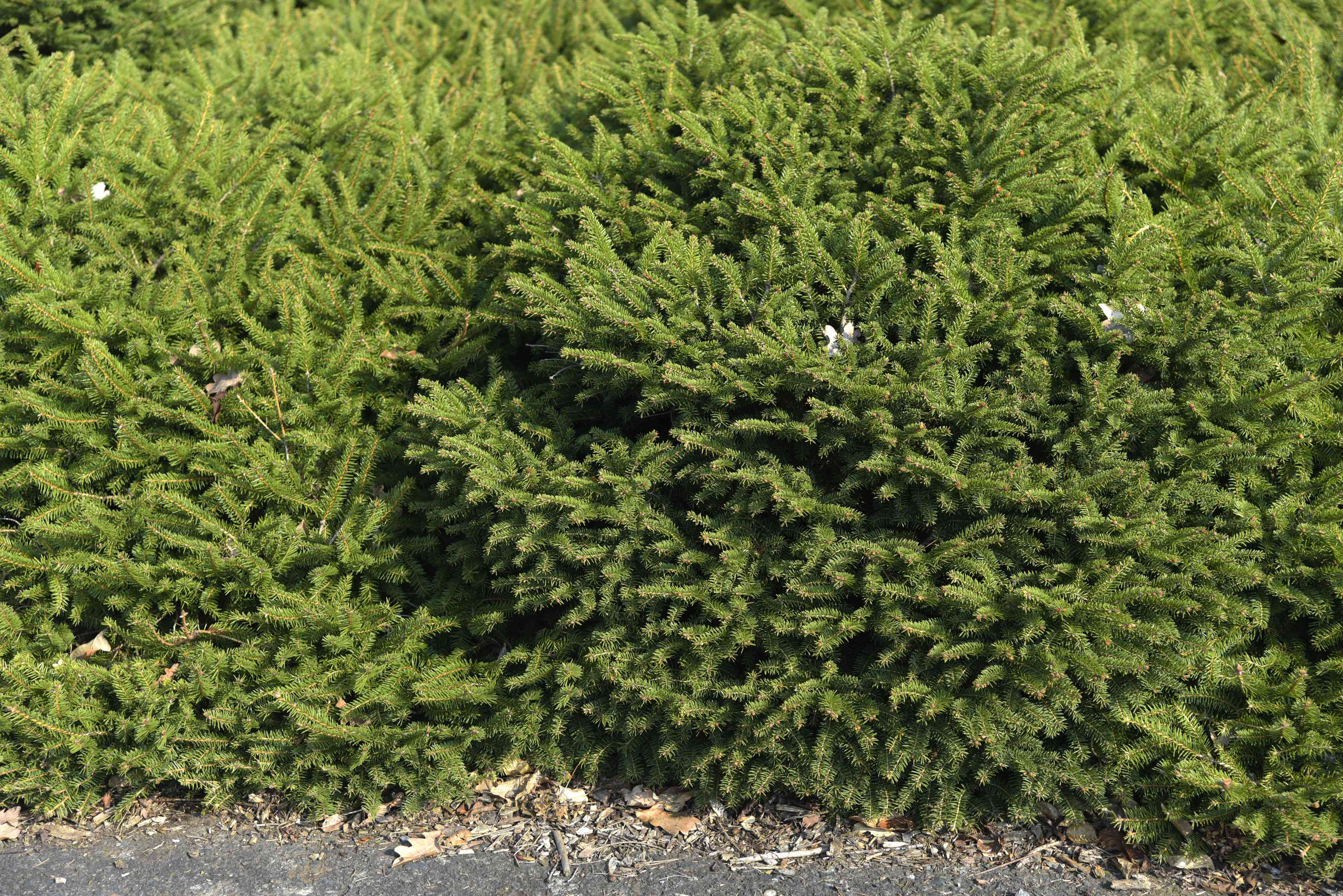 Bird's nest spruce shrub next to gravel pathway with horizontal branches and small white flowers