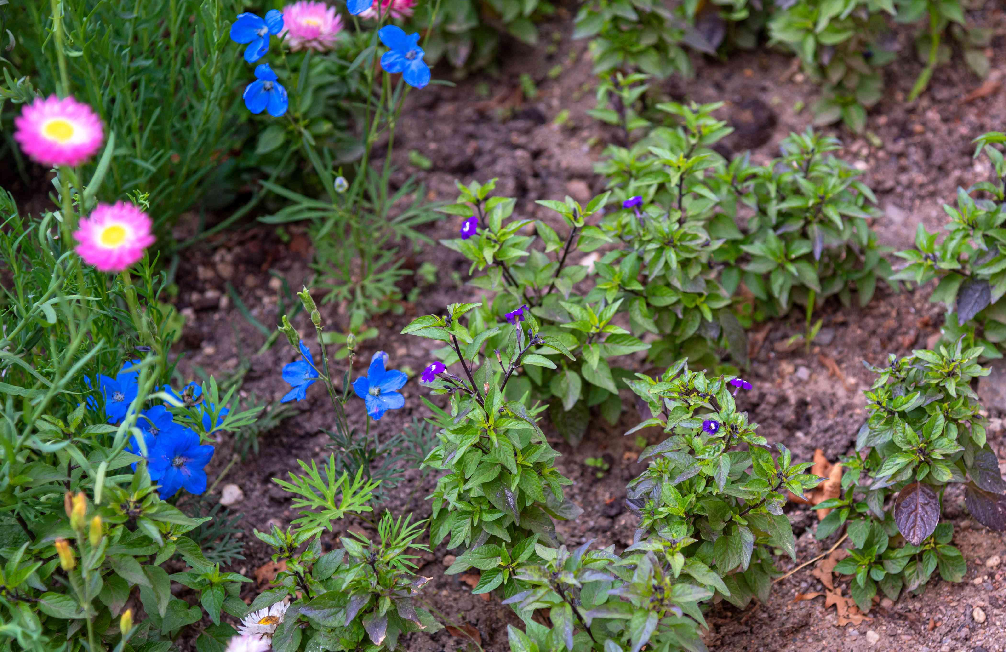 Browallia plant with small purple flowers on bush-like stems in garden