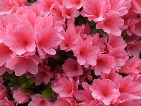 15 great flowering shrubs for your landscape azalea bush with pink flowers mightylinksfo
