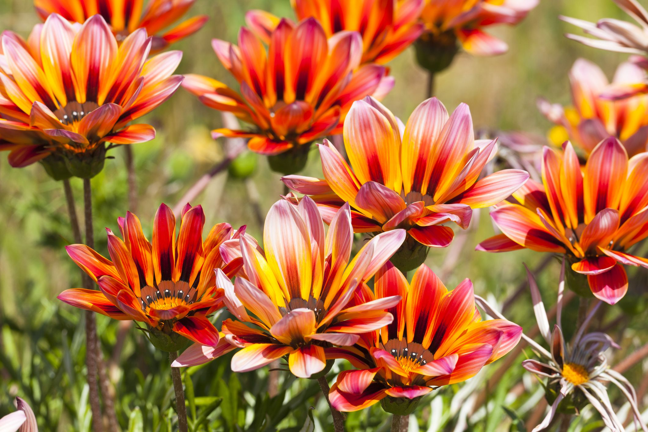 Gazania Flowers Are Low Maintenance Annuals