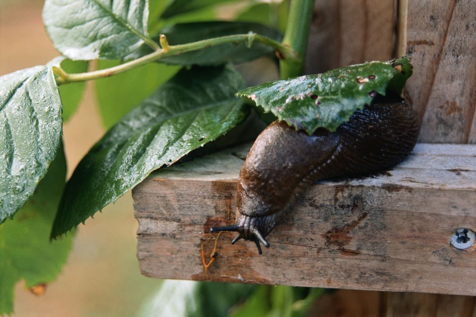 Garden slug near leaves