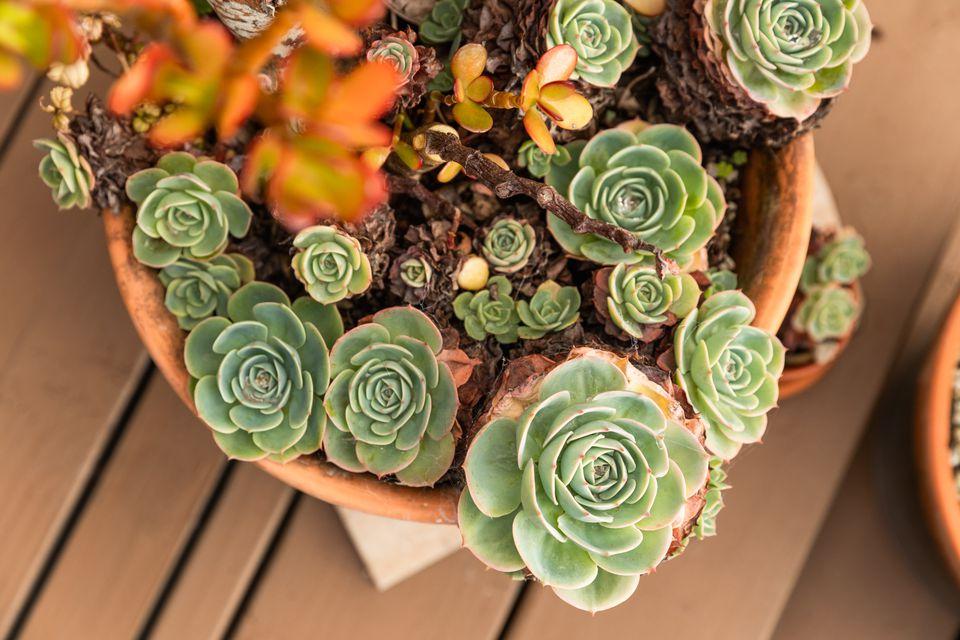 Multiple rosette-like succulents clustered in orange pot
