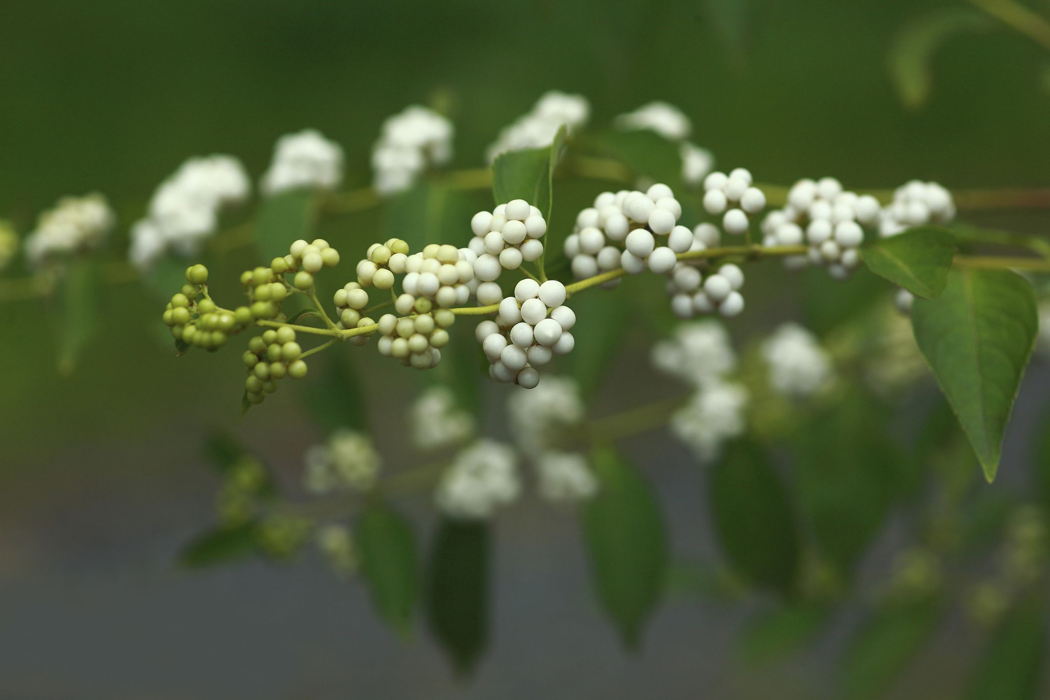 White beautyberries