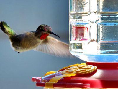8 Easy Tips For Better Hummingbird Feeding