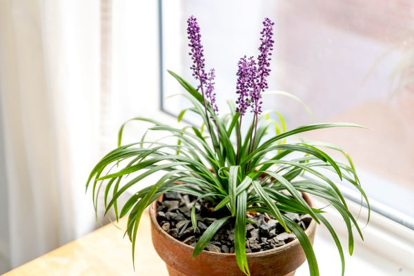 Lilyturf plant in orange pot with small green leaf blades and lavender spikes near window