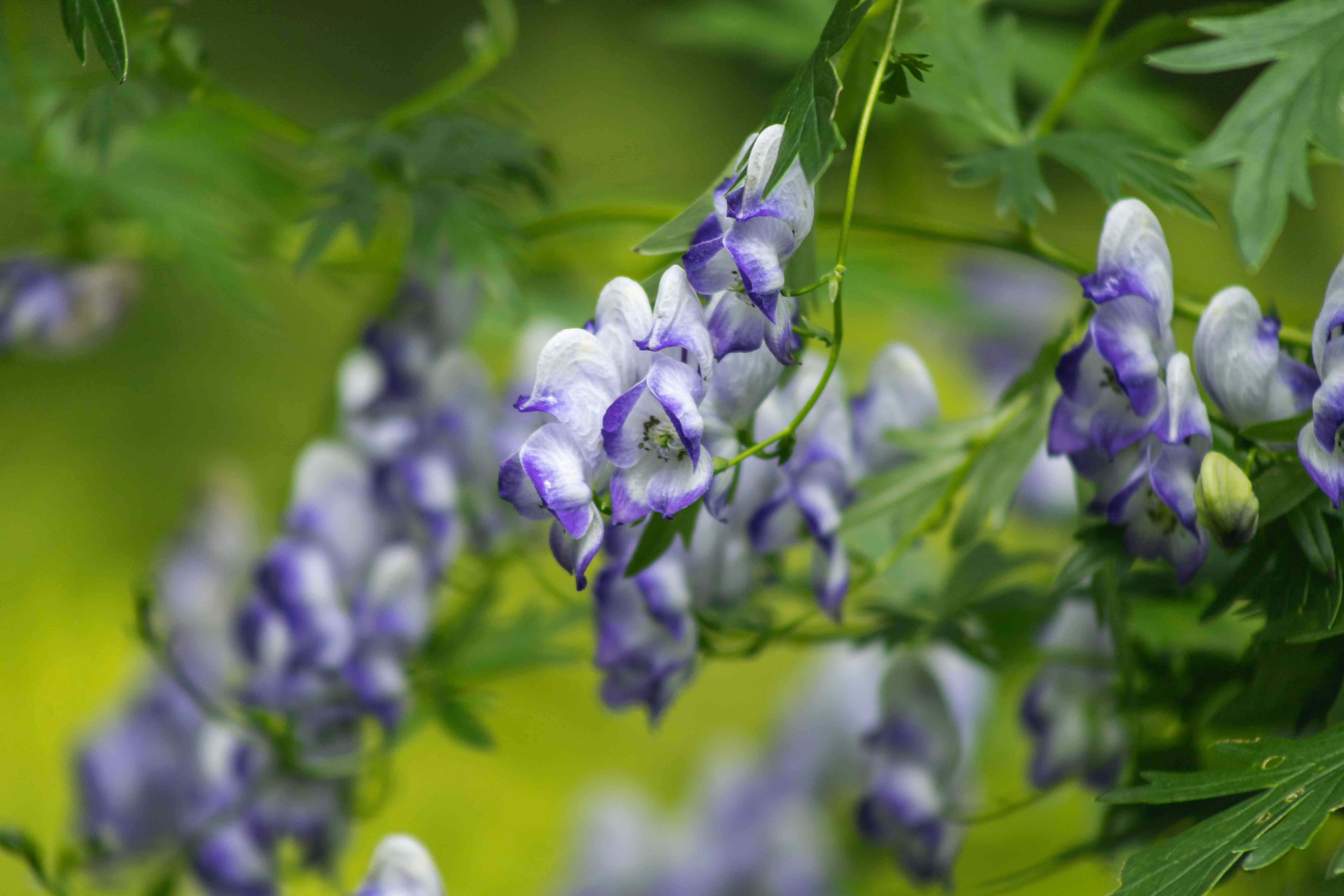 Monkshood plant with small white and purple-blue flowers hanging on thin stems