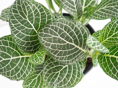 closeup of a fittonia plant